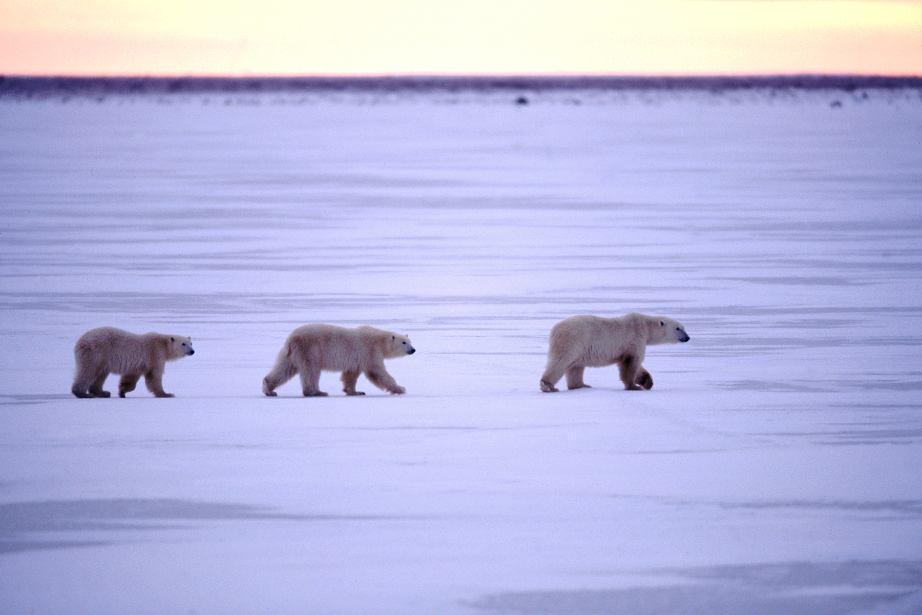 Migrating Polar Bears, Manitoba, Canada