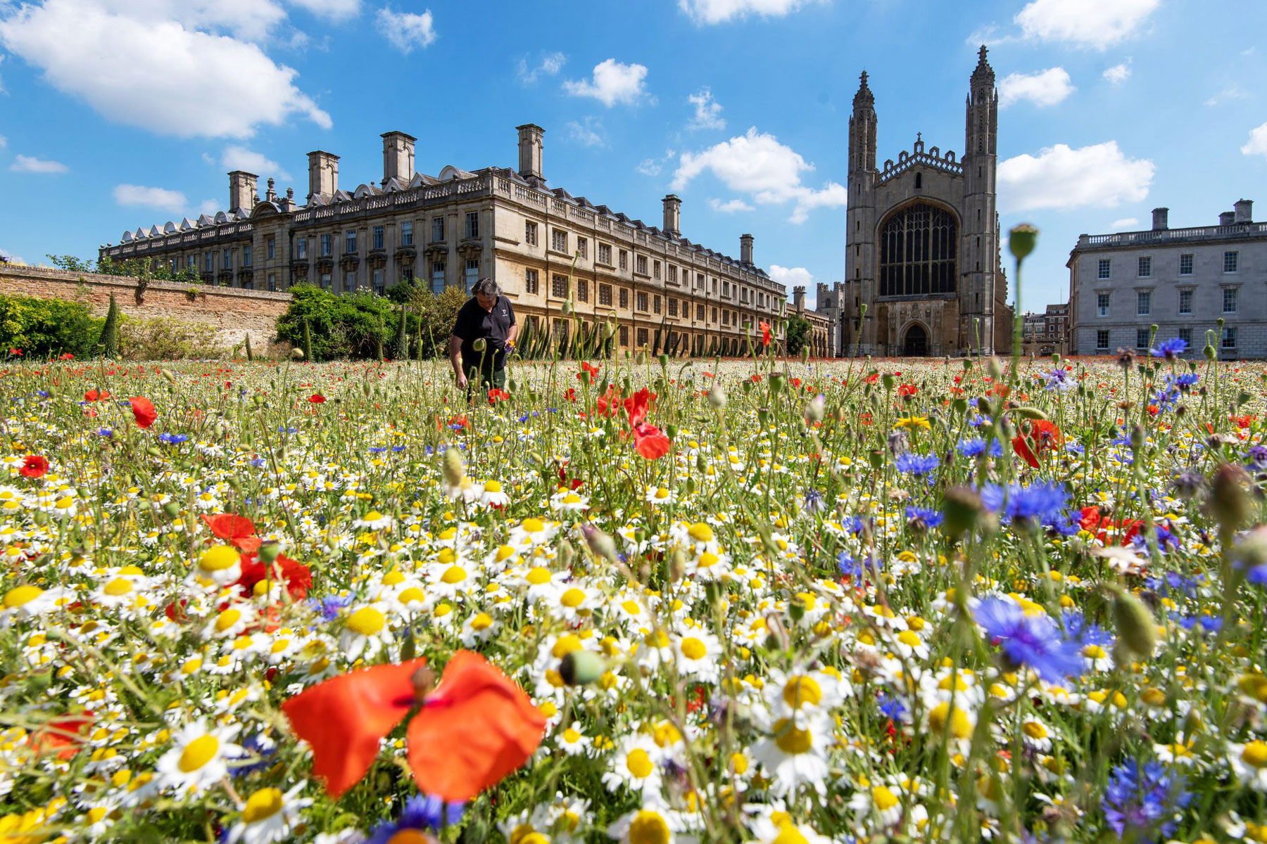 wildflower meadow at King's College
