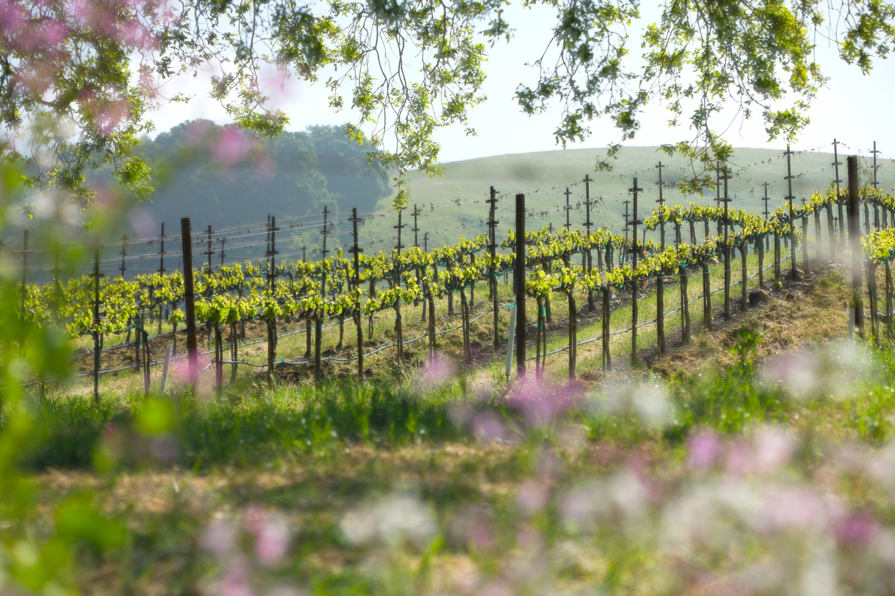 Springtime landscape in Napa Valley, California.