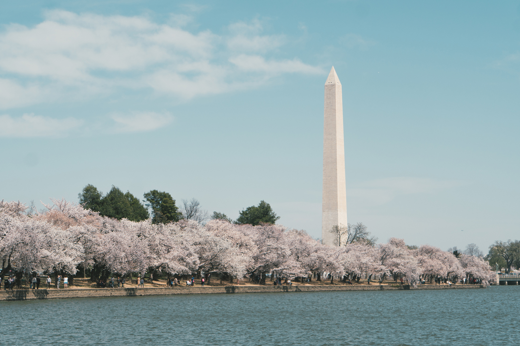 Cherry Blossoms the Washington Monument in Washington DC