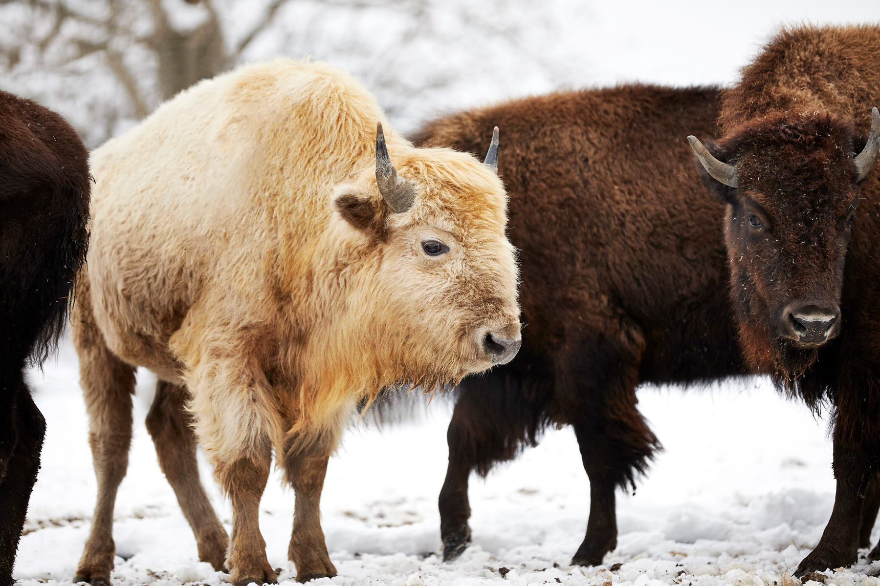 White bison at Dogwood Canyon Nature Park