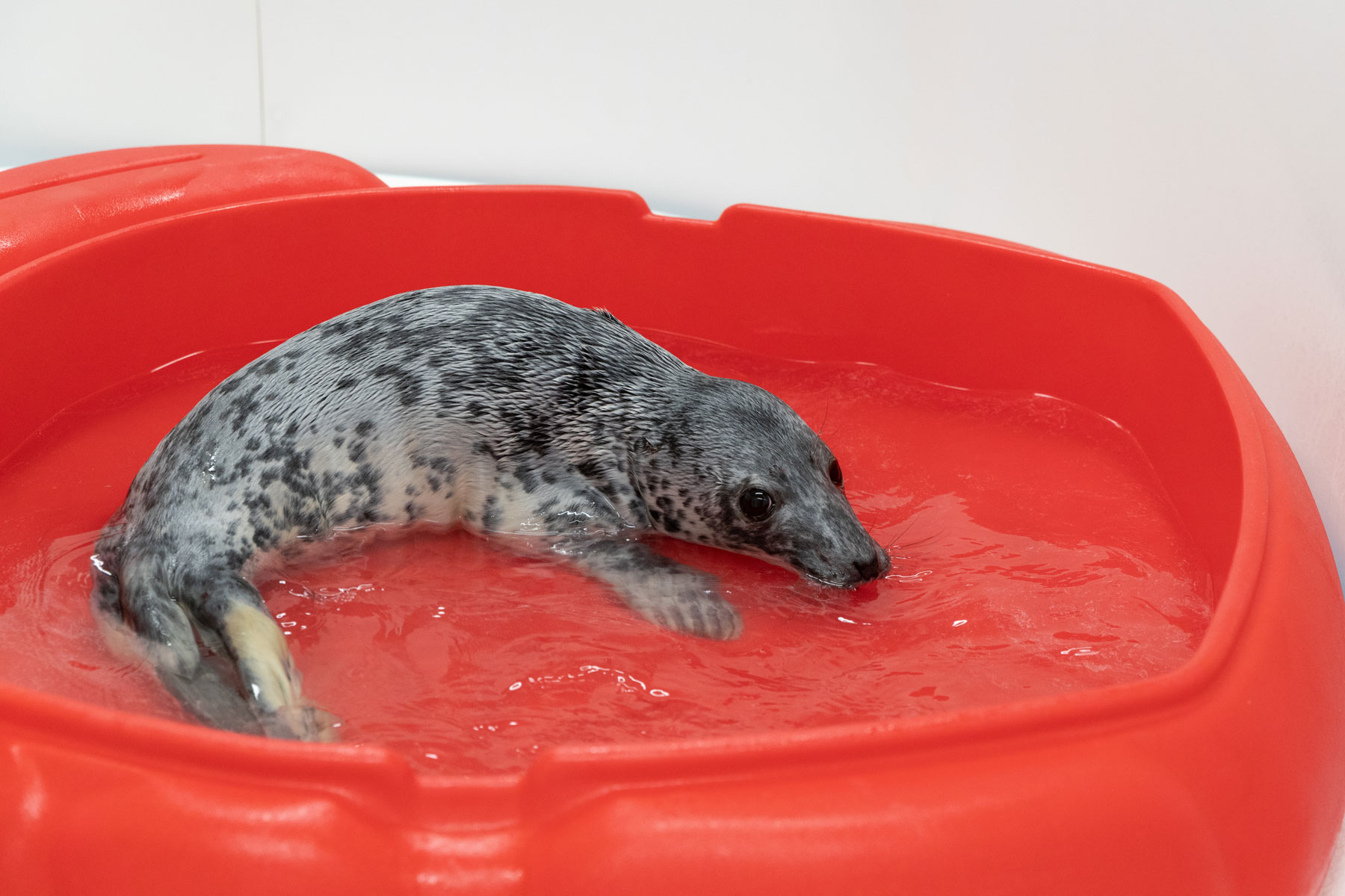 Eloise the grey seal pup