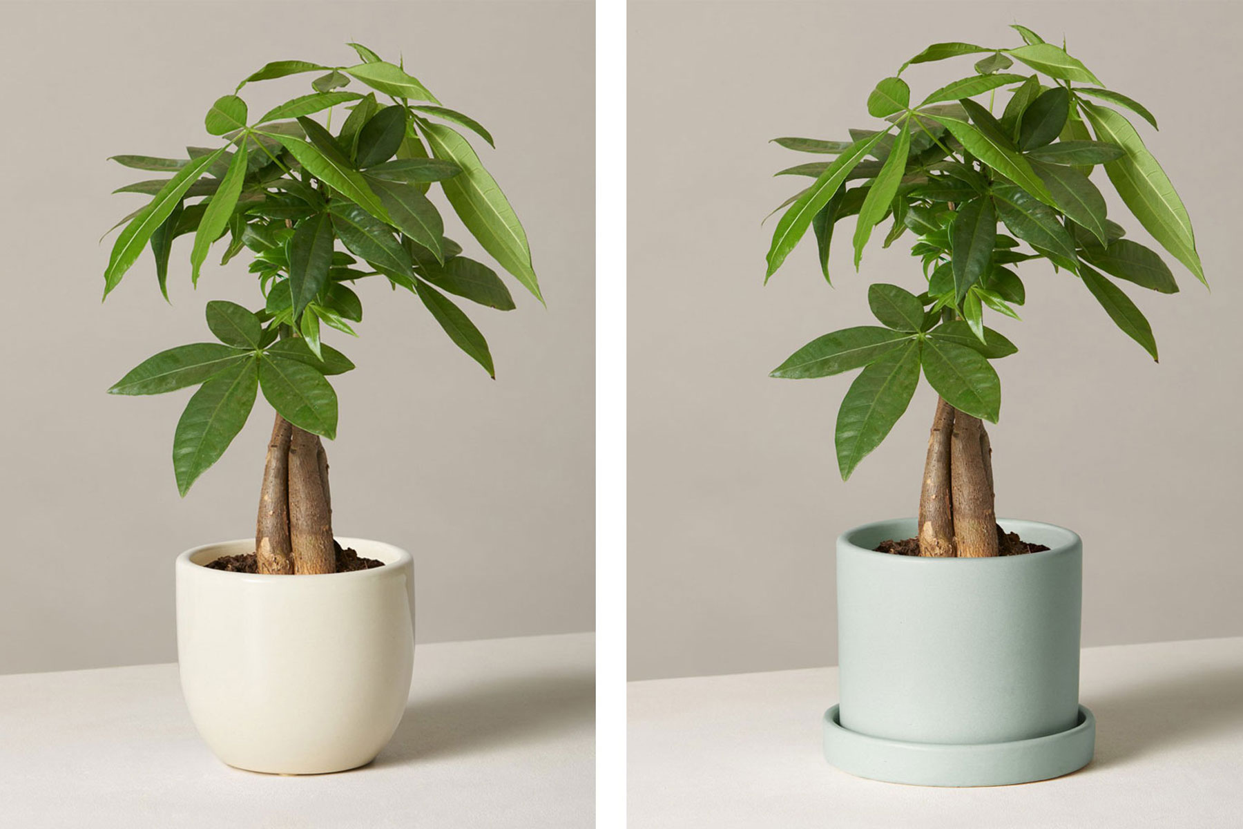 Money tree plants in ceramic pots