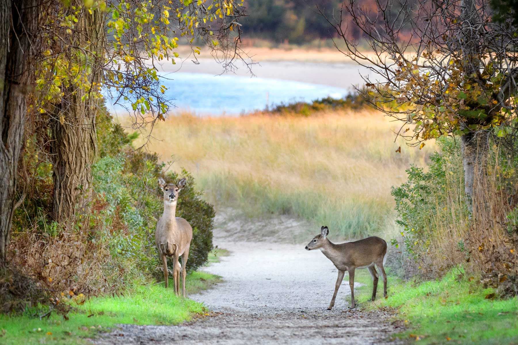 A Doe and Fawn Along the Path to the Beach at Elizabeth Morton Wildlife Reserve near The Hamptons in New York