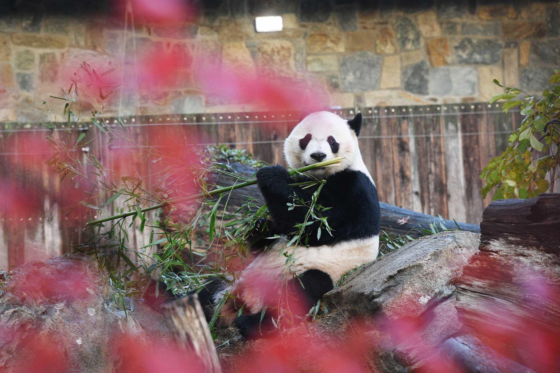 U.S.-born male giant panda Bei Bei is seen before his departure at the Smithsonian's National Zoo in Washington D.C