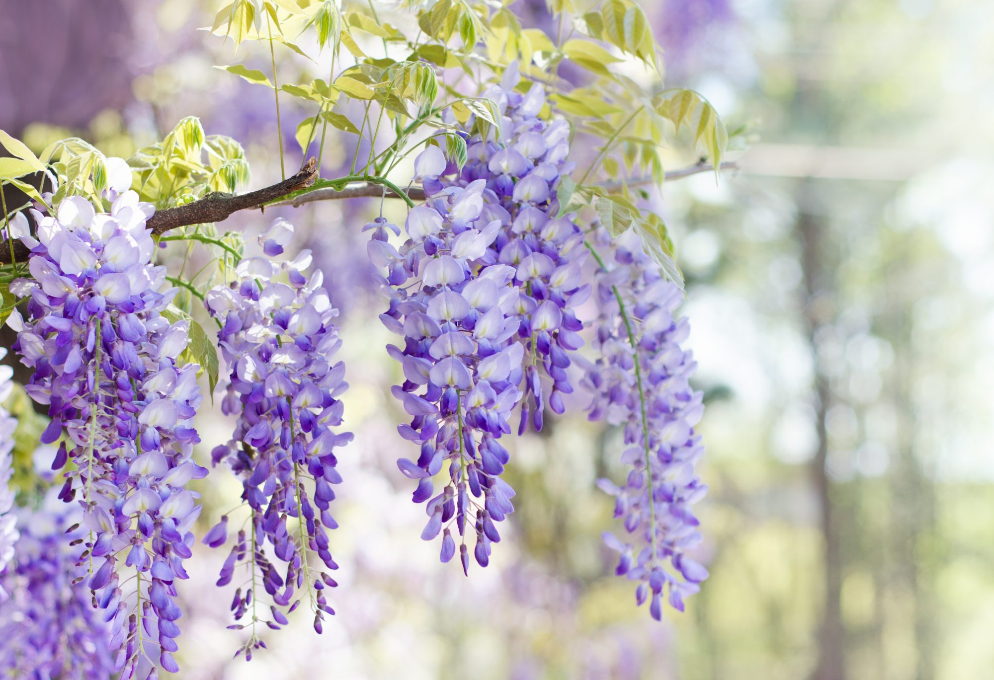 Close up of wisteria flowers blooming in spring