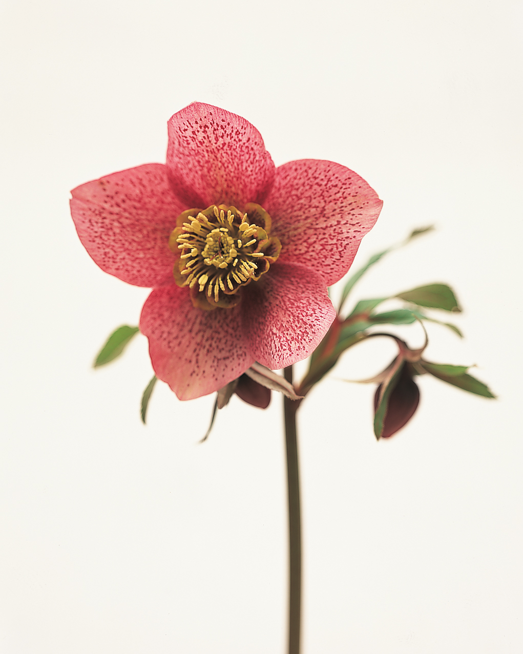 dark-pink-flower-goodthings-ml203cvr5x-0115.jpg