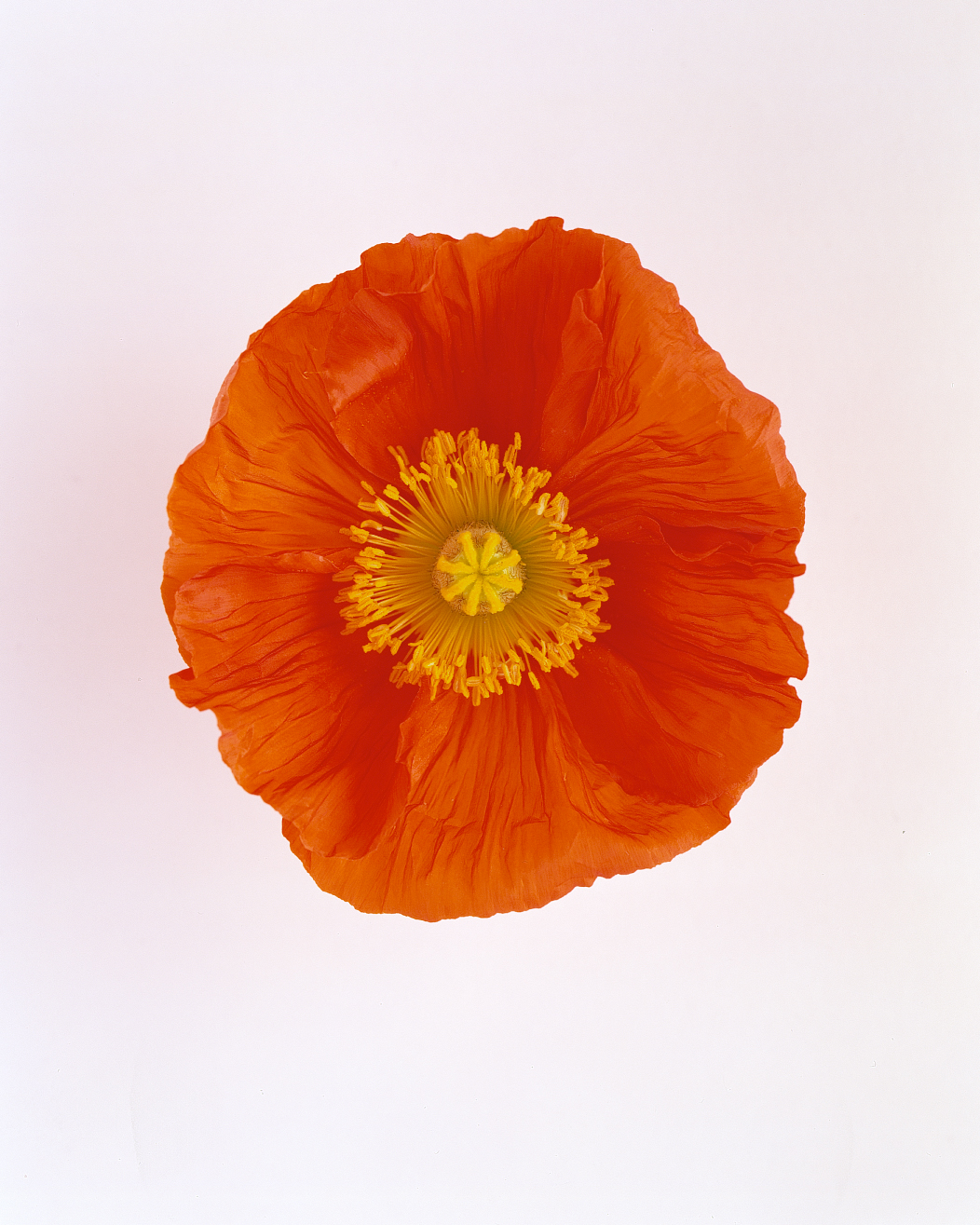 flower-glossary-poppy-happy-or-simona-red-a98432-0415.jpg