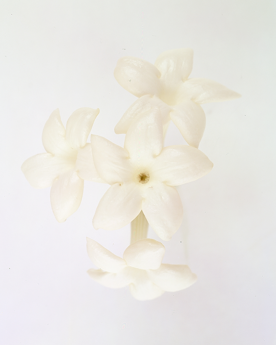 flower-glossary-stephanotis-a98432-0415.jpg