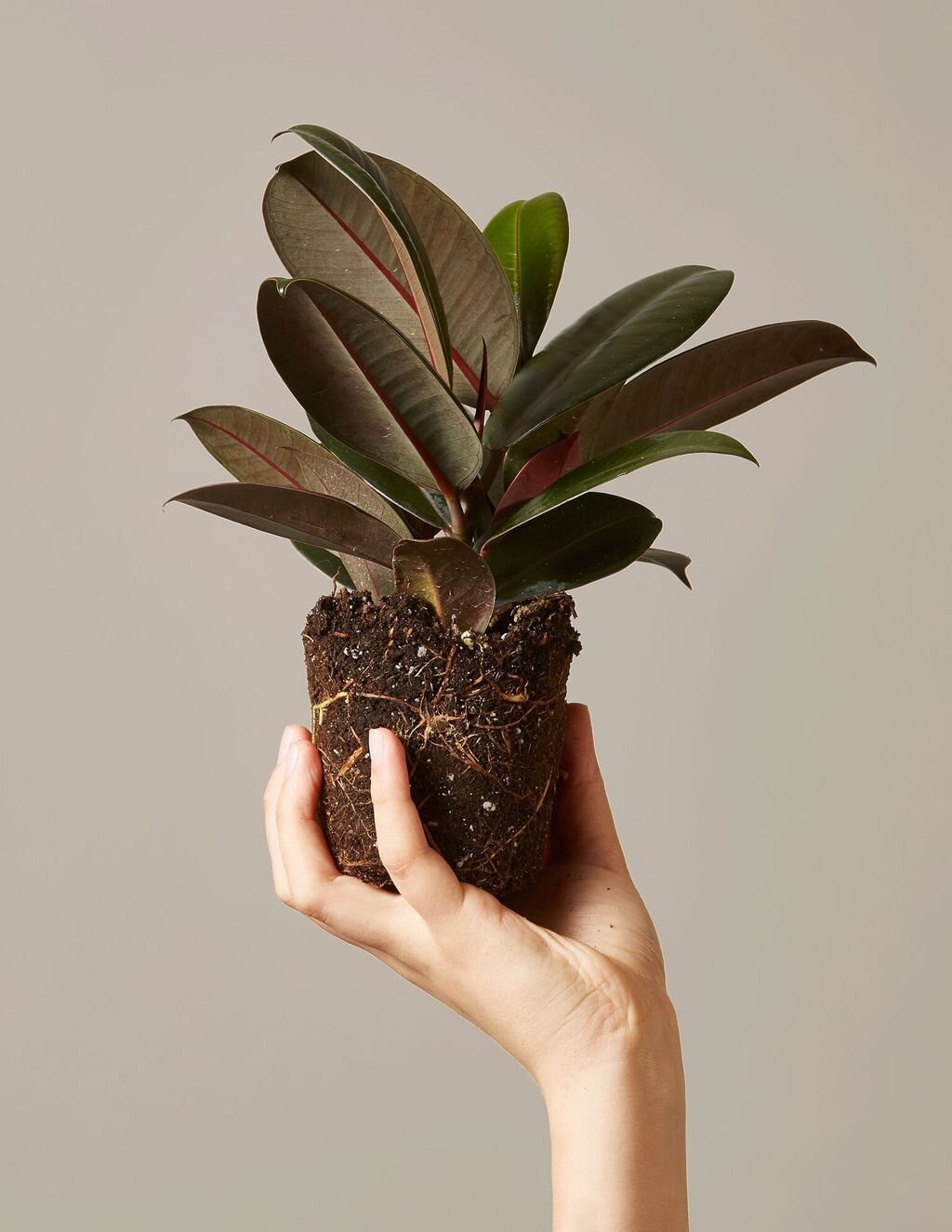 8 Moving Tips for Transporting Your Houseplants Safely ... on brown decor ideas, brown before and after, brown lashes, brown concrete, brown artificial nails, brown italian shoes, brown tablescapes, brown examples, brown template, brown hair, brown swatches, brown styles, brown extensions, brown pedicure, brown ends, brown streaks, brown low lights, brown french nails, brown in italian, brown modern house,
