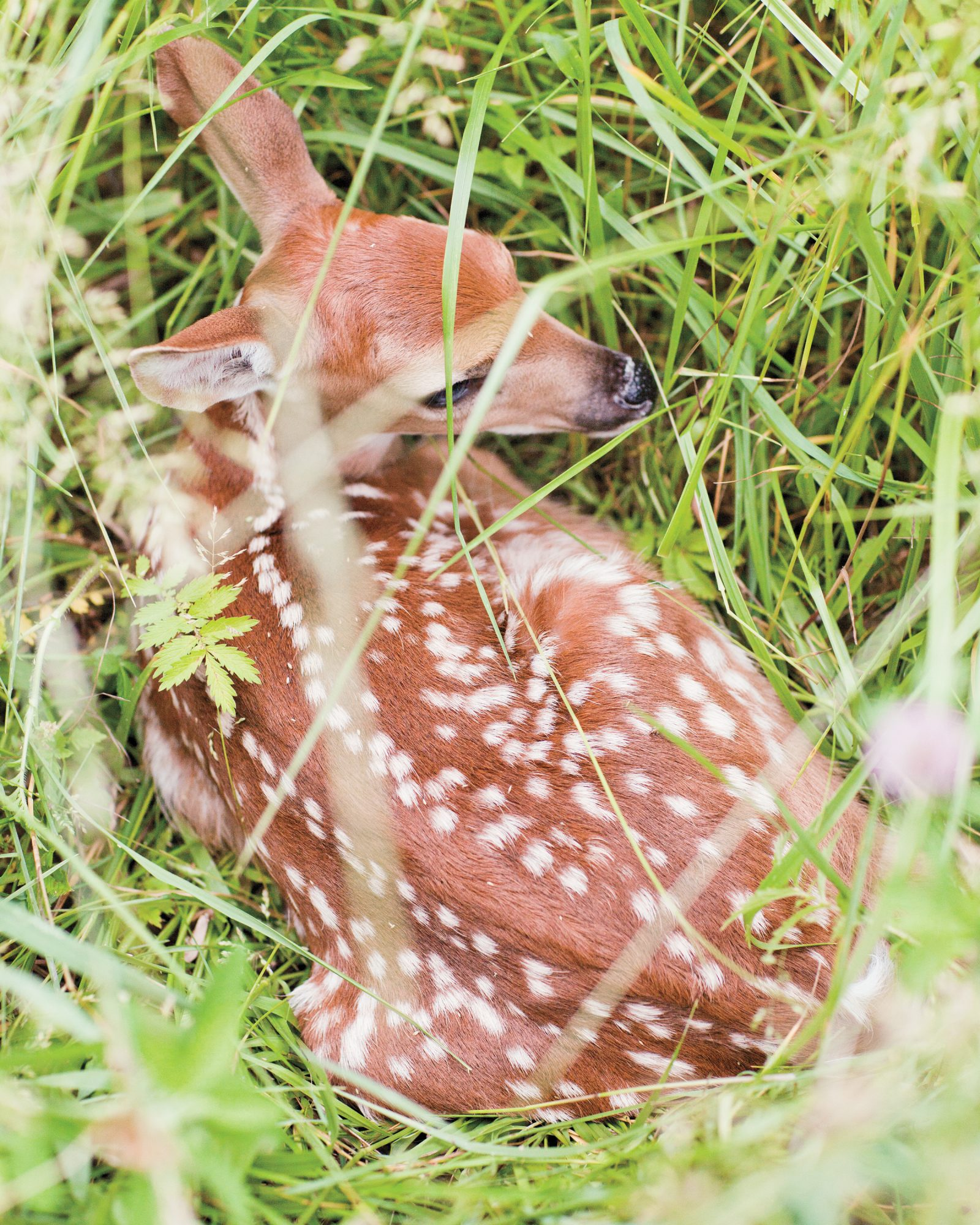 The Furry Fawn