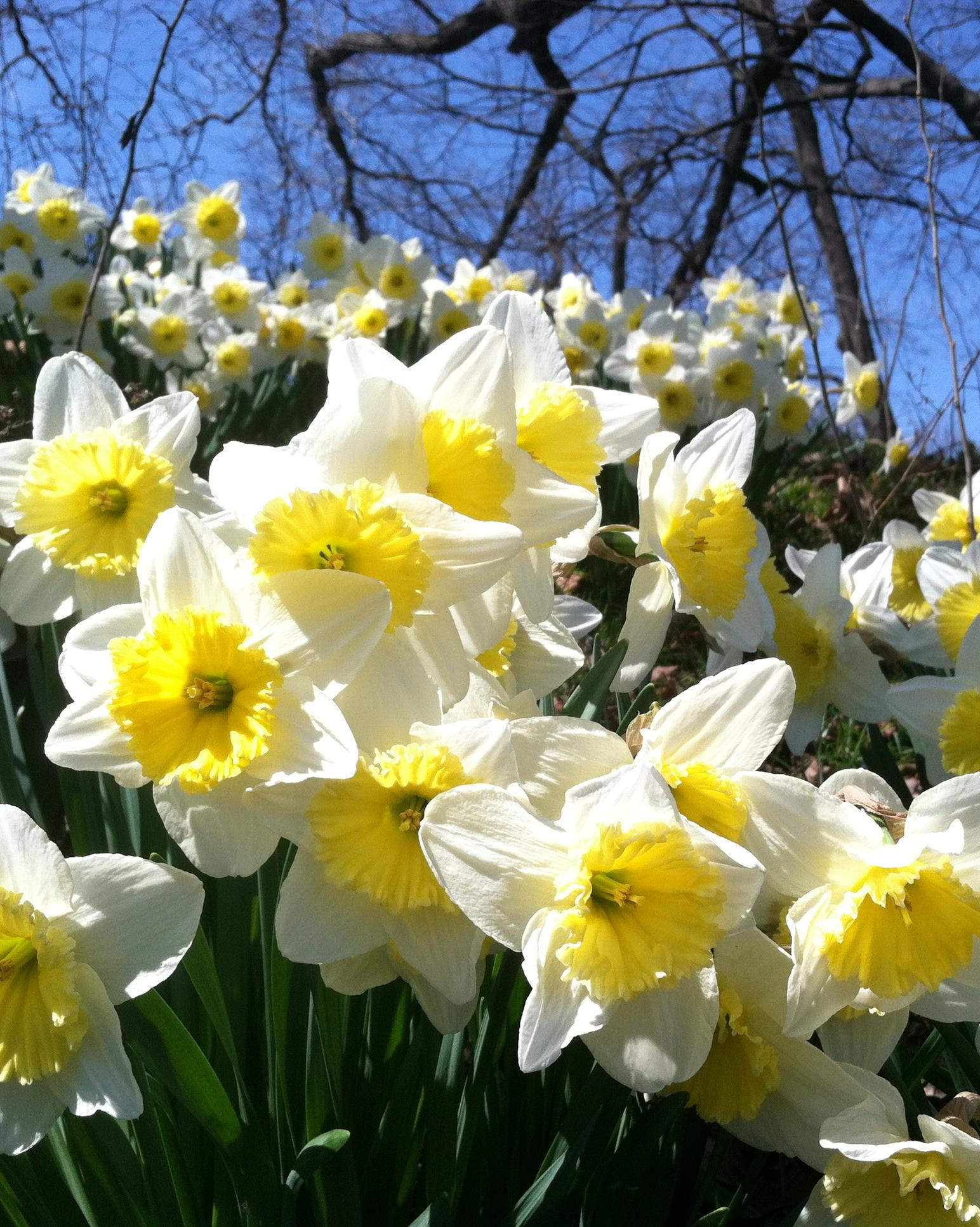 Garden of White and Yellow Daffodils