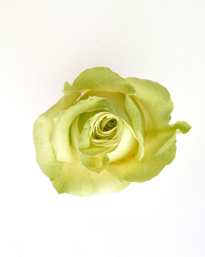 rose-color-meanings-green-a98432-0715.jpg