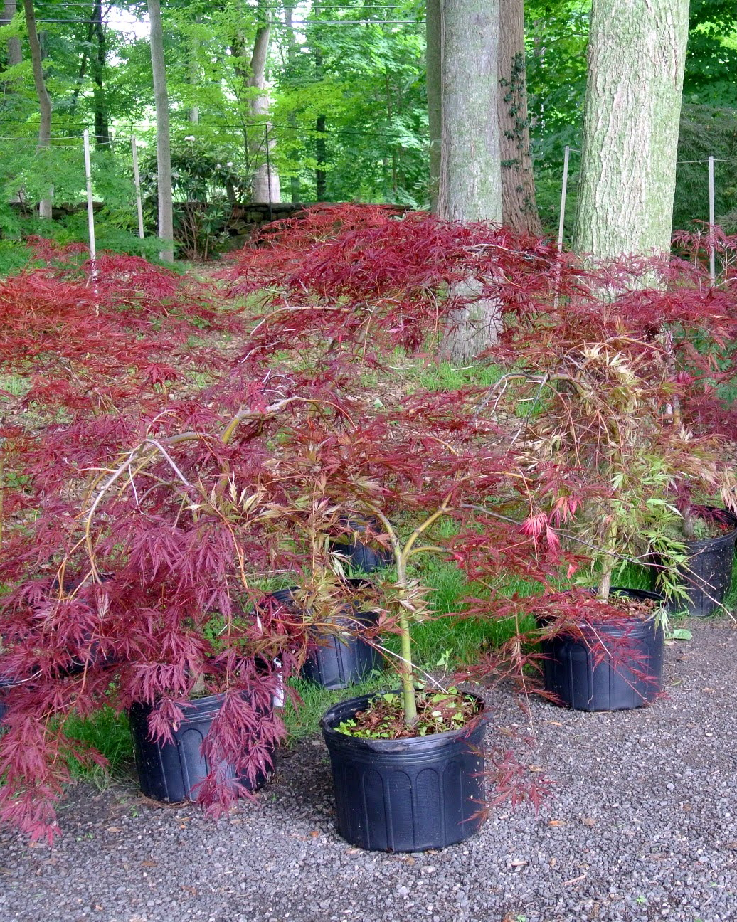 japanese-maples-02.jpg