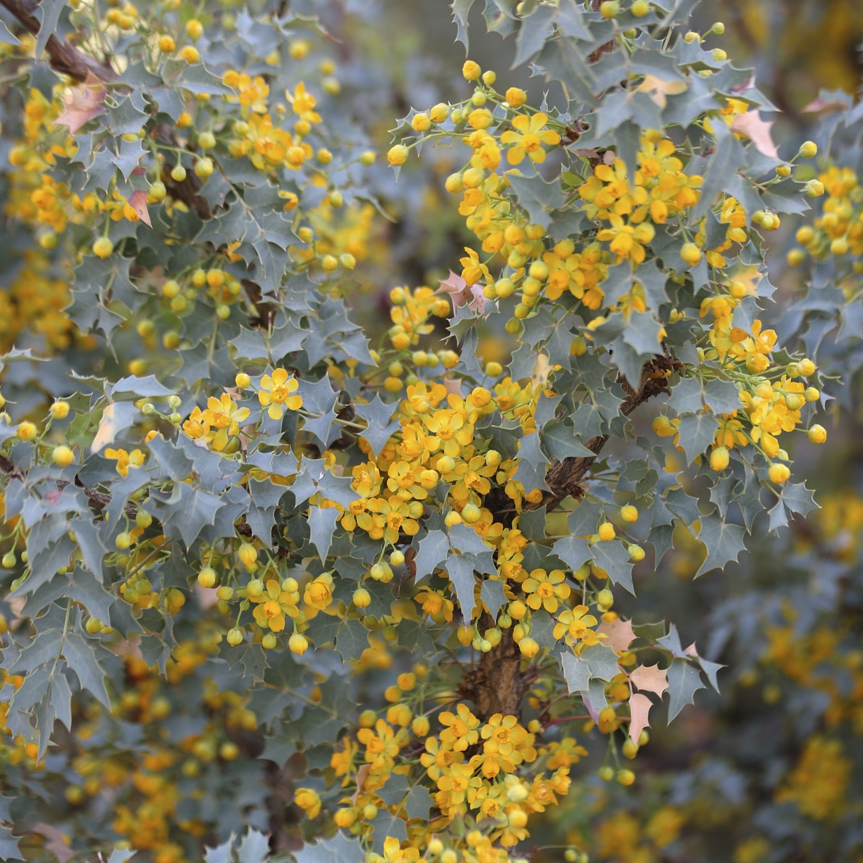 Mahonia-yellow-flowers-0316.jpg (skyword:242022)