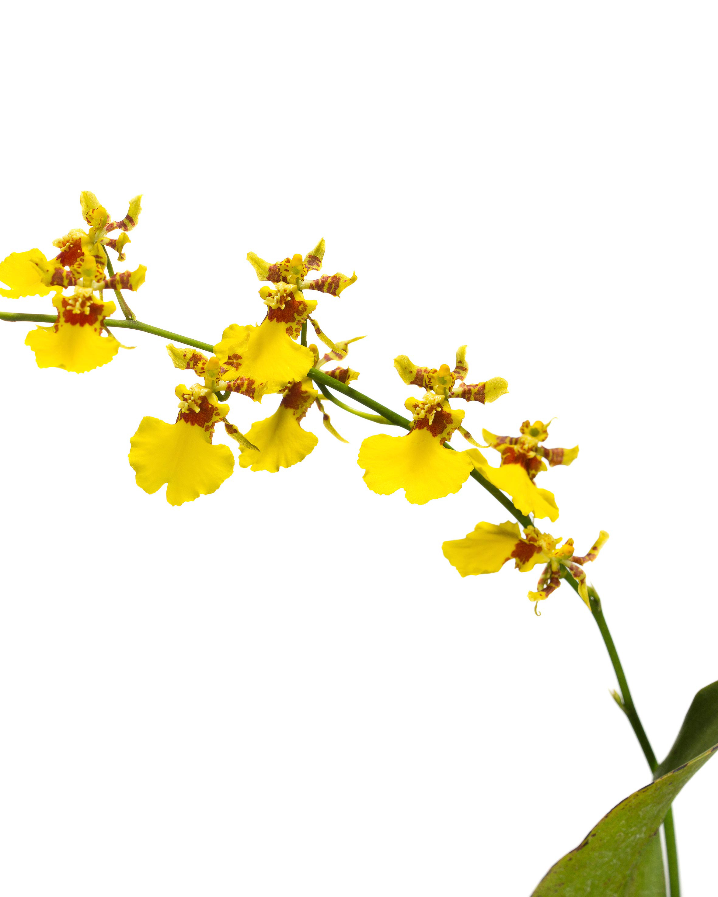 dancing-doll-orchids.jpg