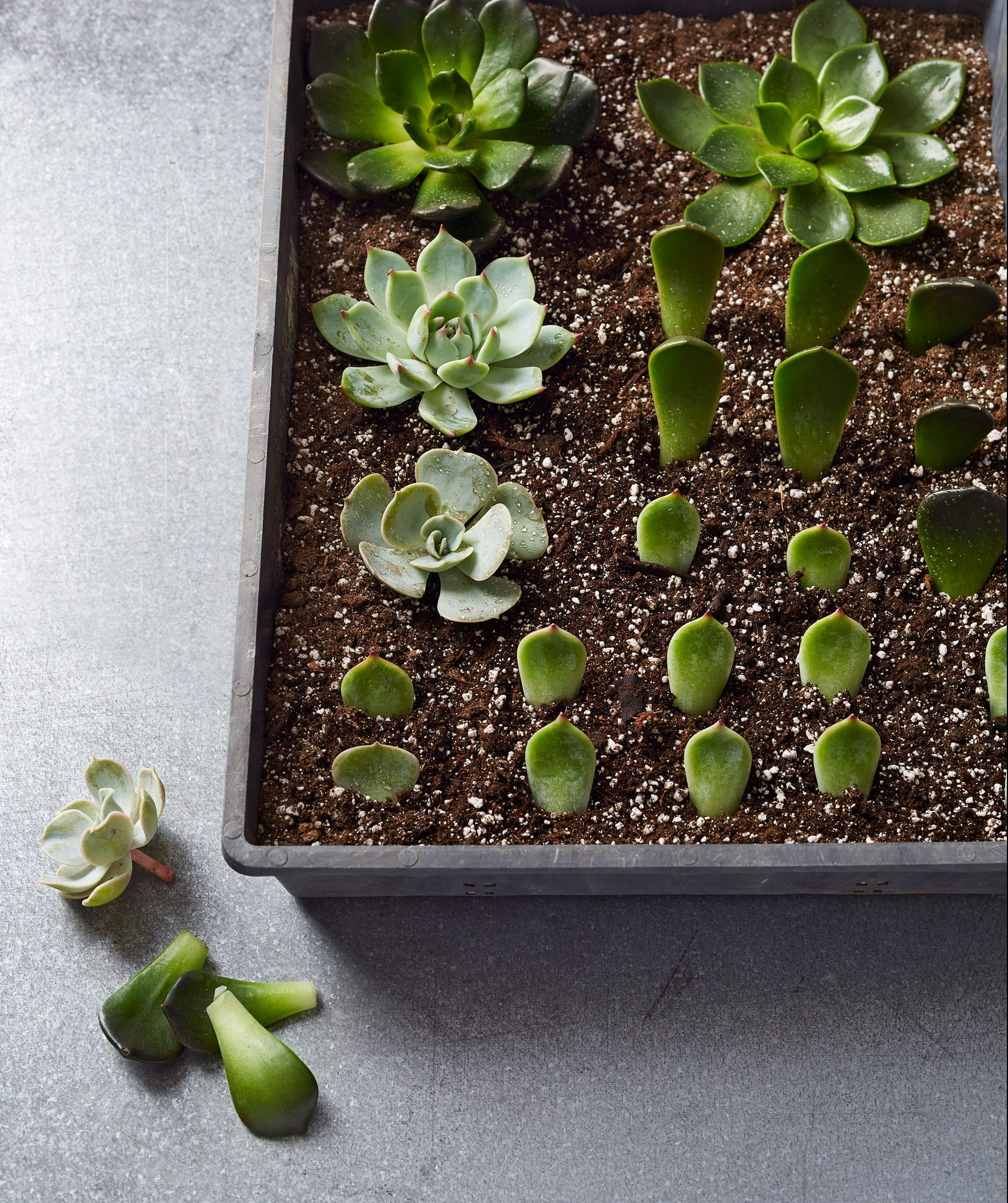 How To Propagate Succulents Martha