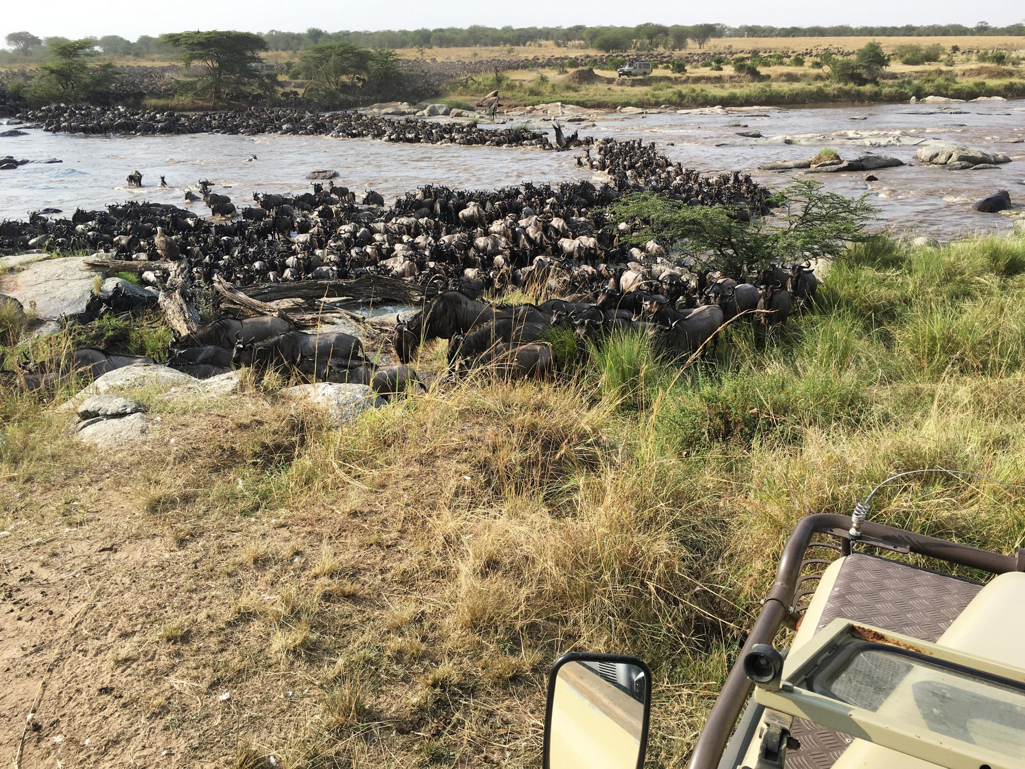 Title: Wildebeest Crossing