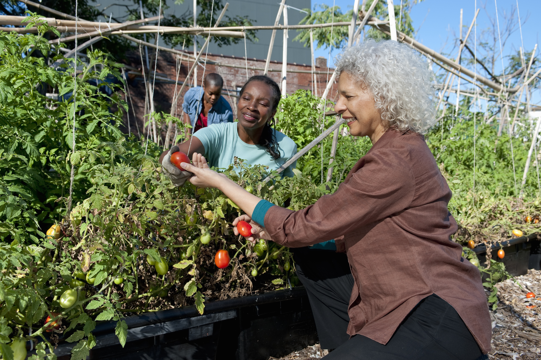 Women work together tending to tomatoes in a community garden.
