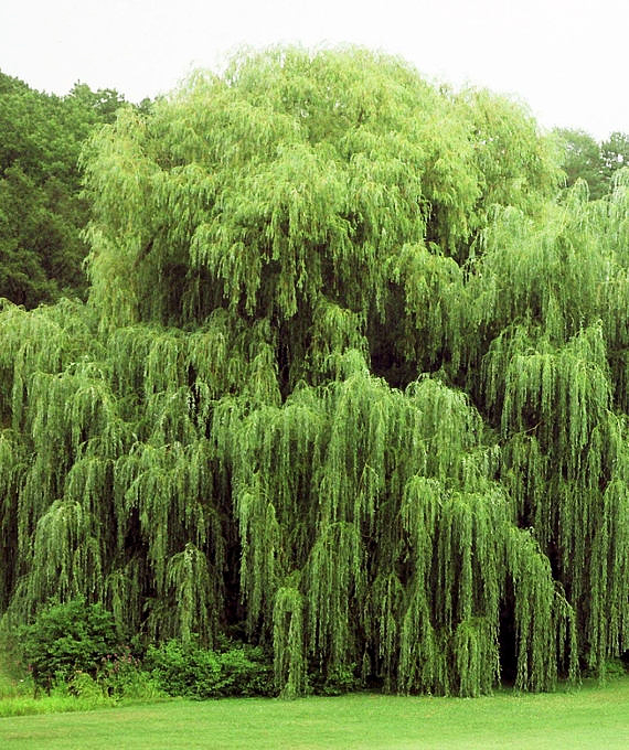 Weeping Willow Trees