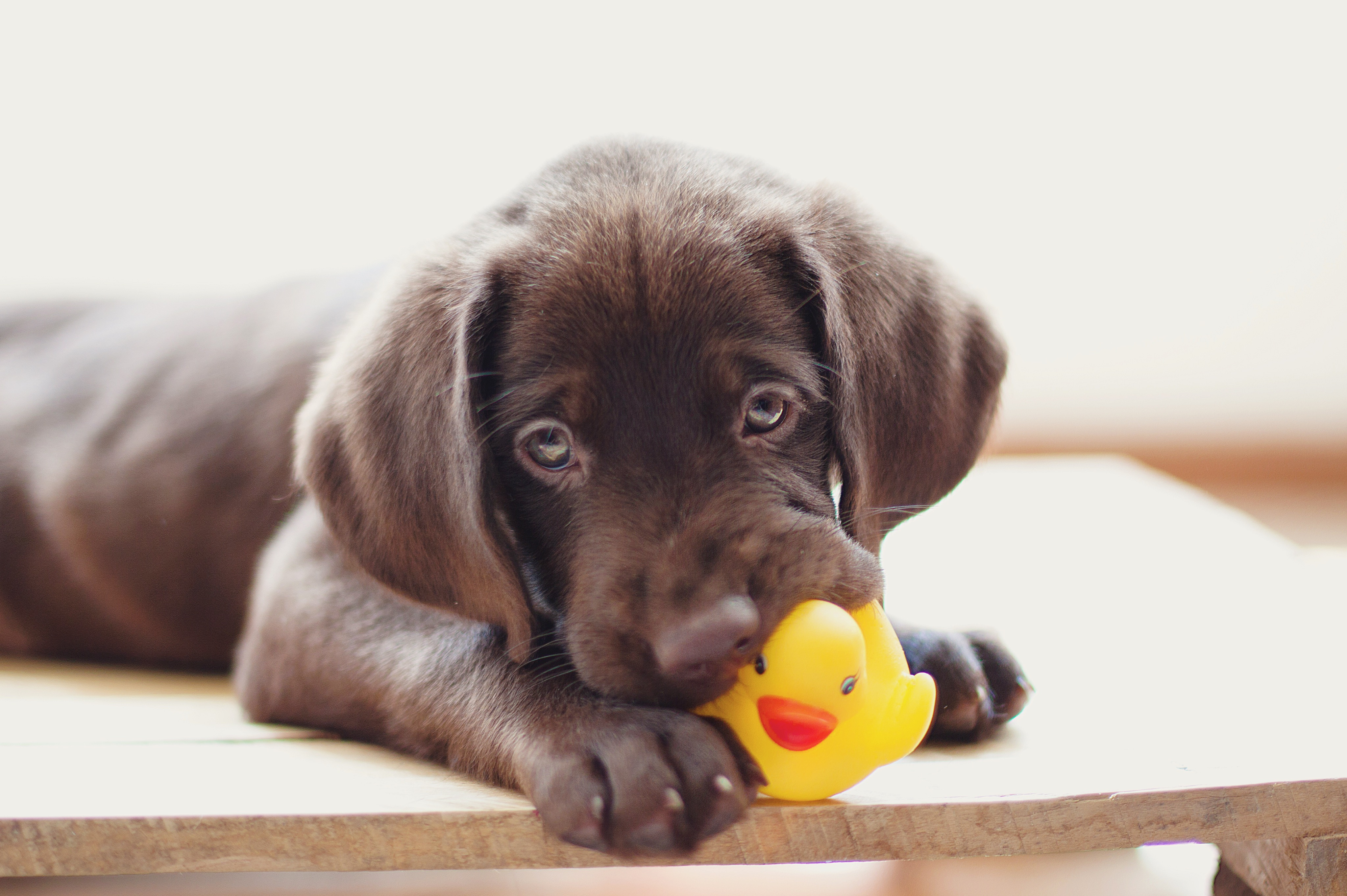 chocolate lab puppy chewing rubber ducky