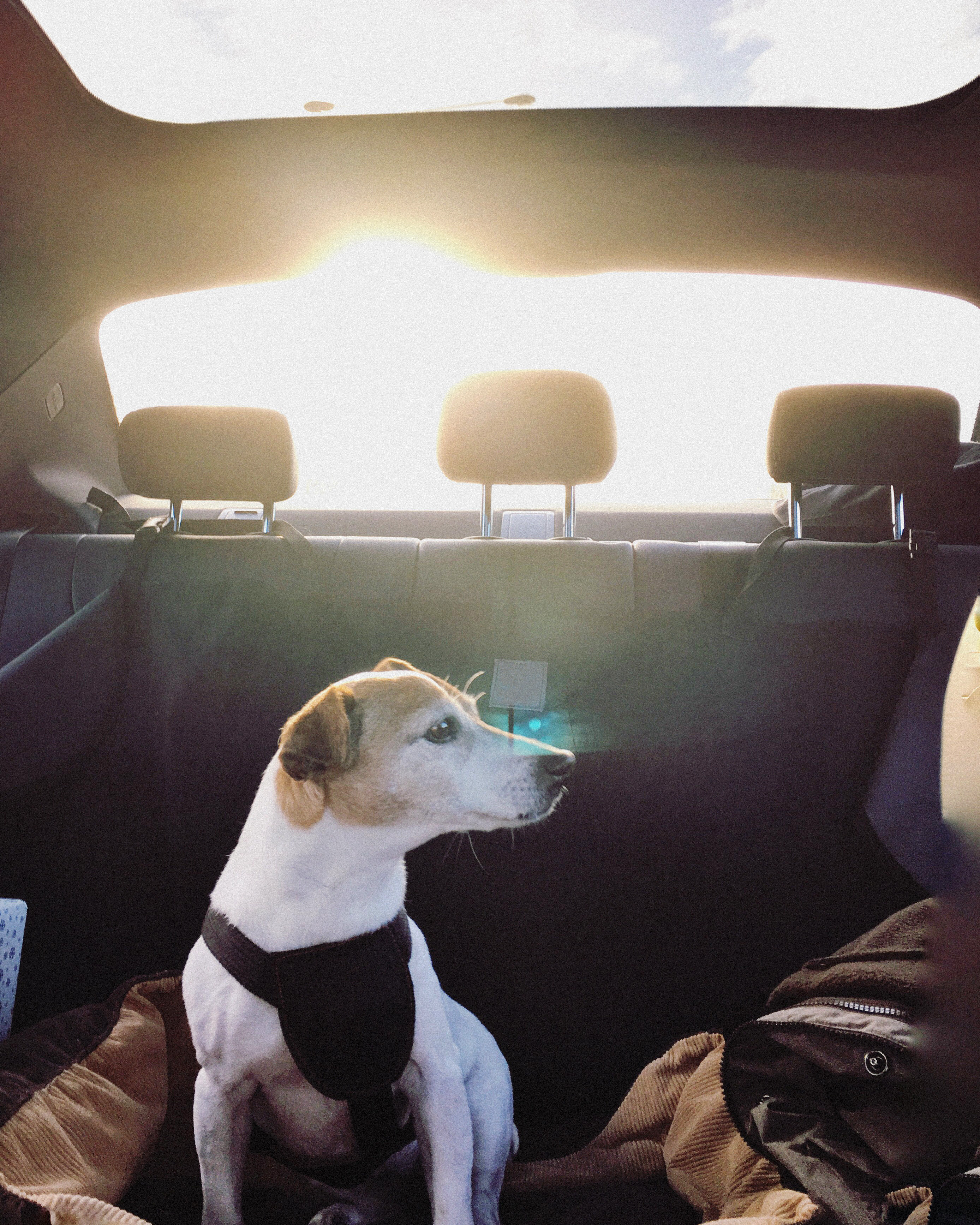 dog-jack-russell-terrier-car-buckled-getty-617947755