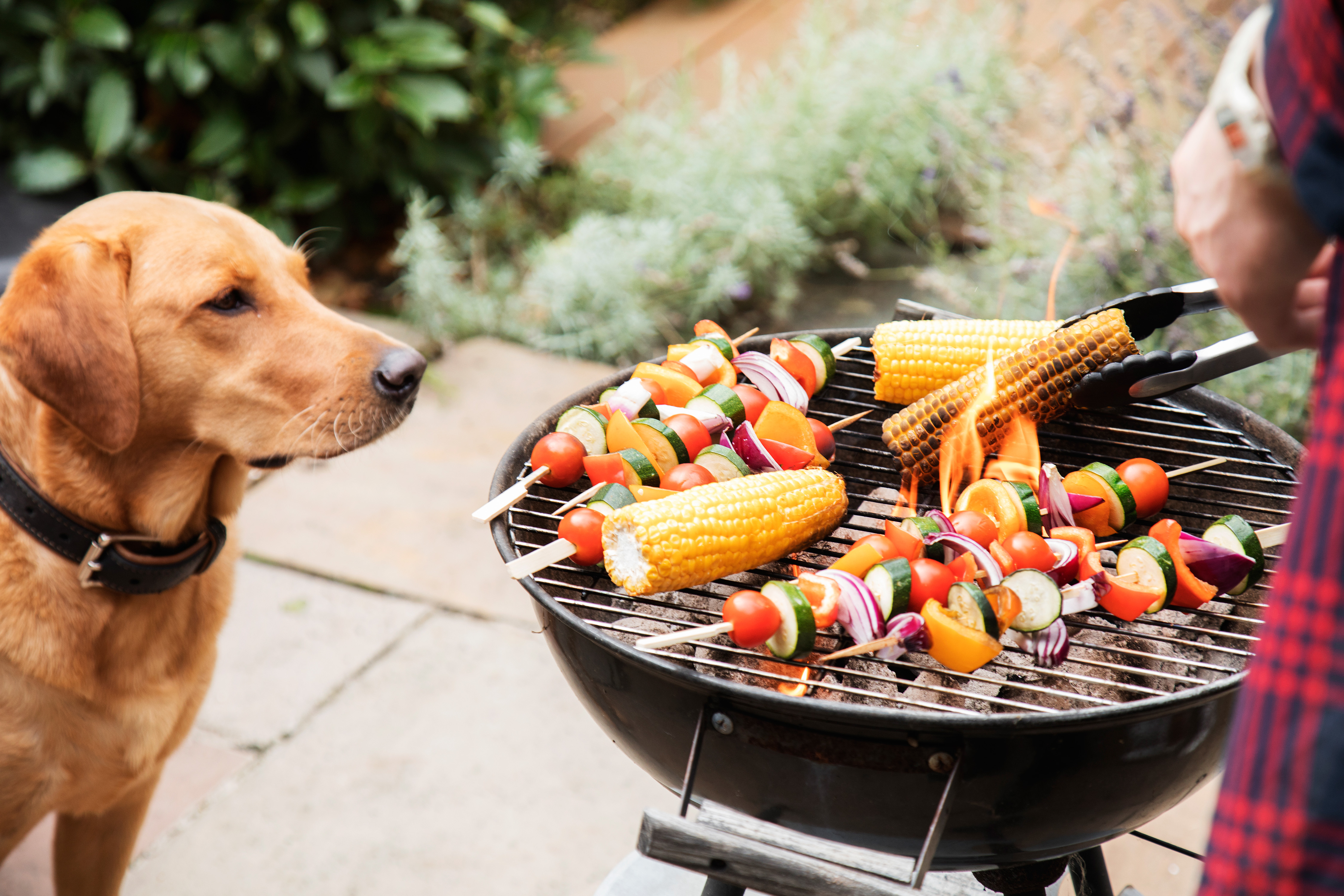 dog kebobs corn grill outdoors