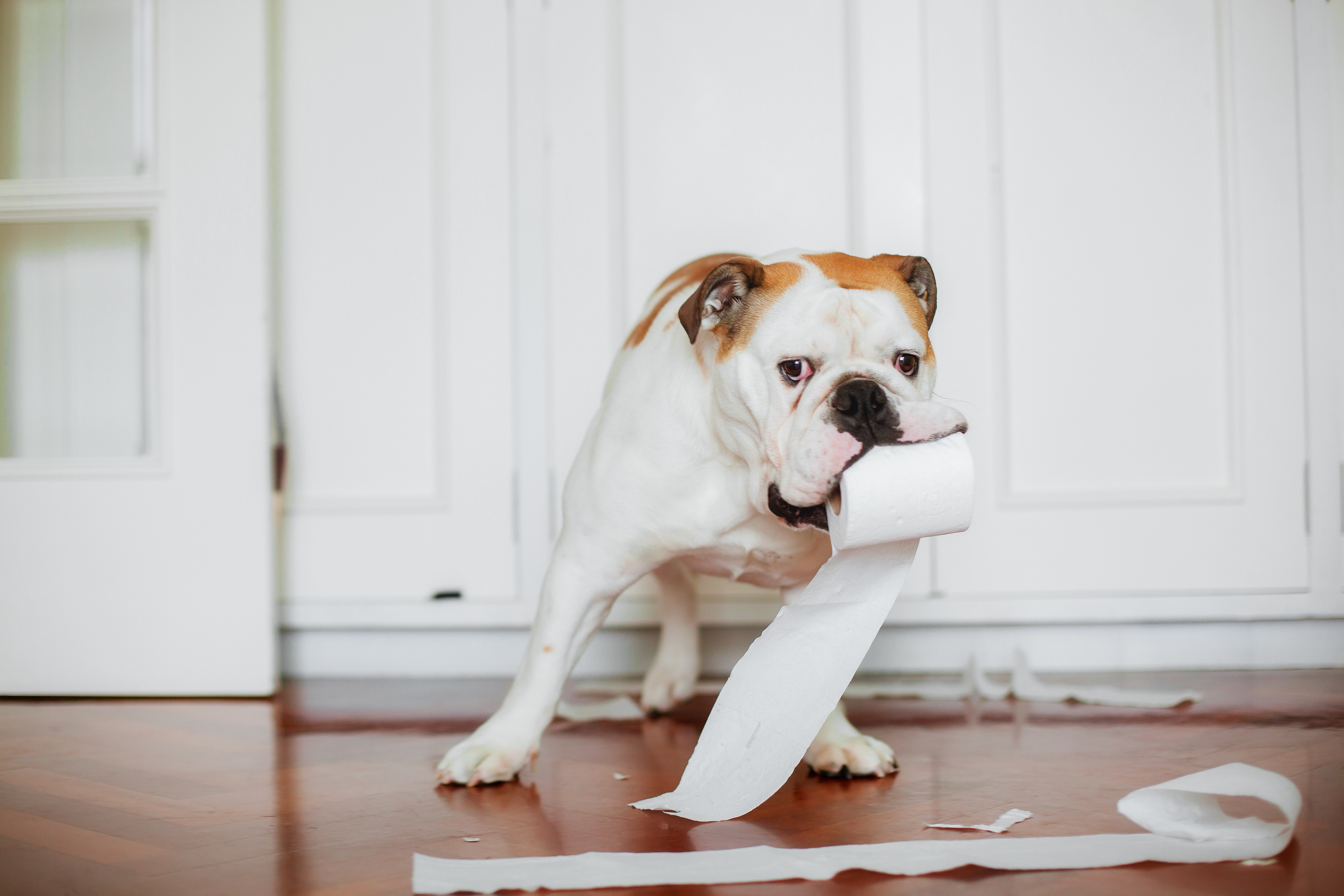 bulldog with toilet paper roll