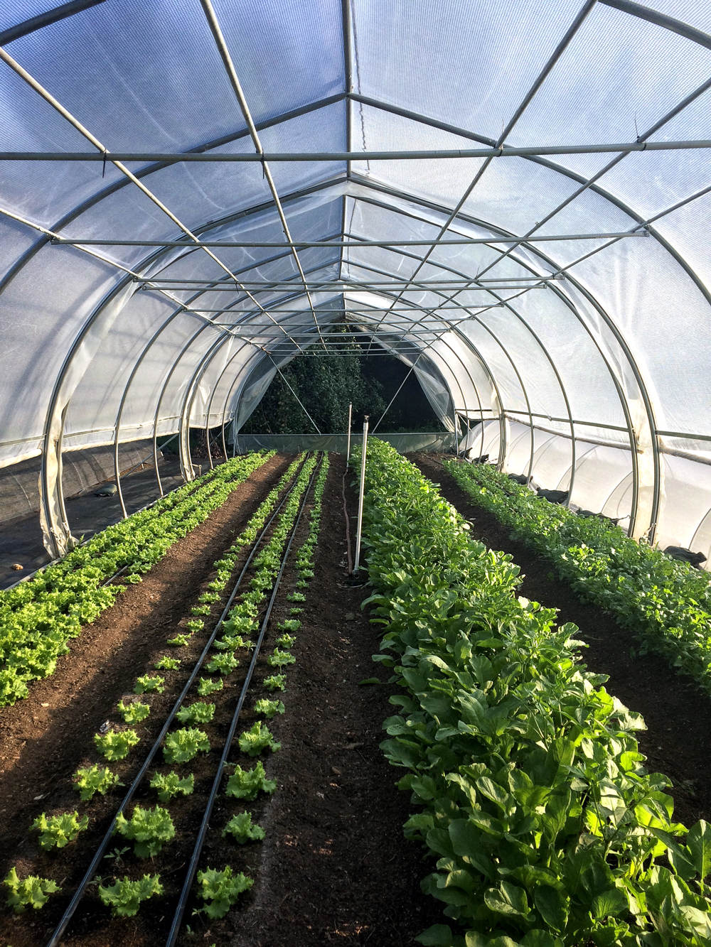hoop house with greens