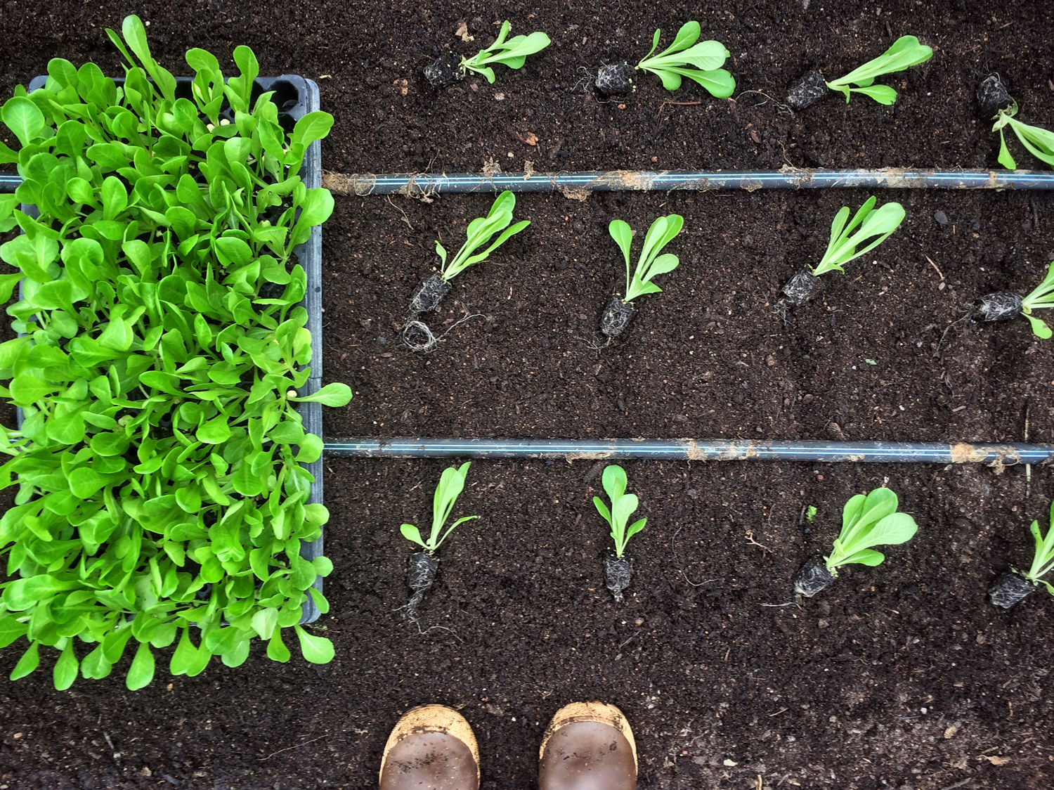 rich soil with rows of green leaves