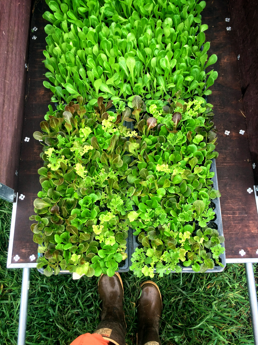 lettuce being transported