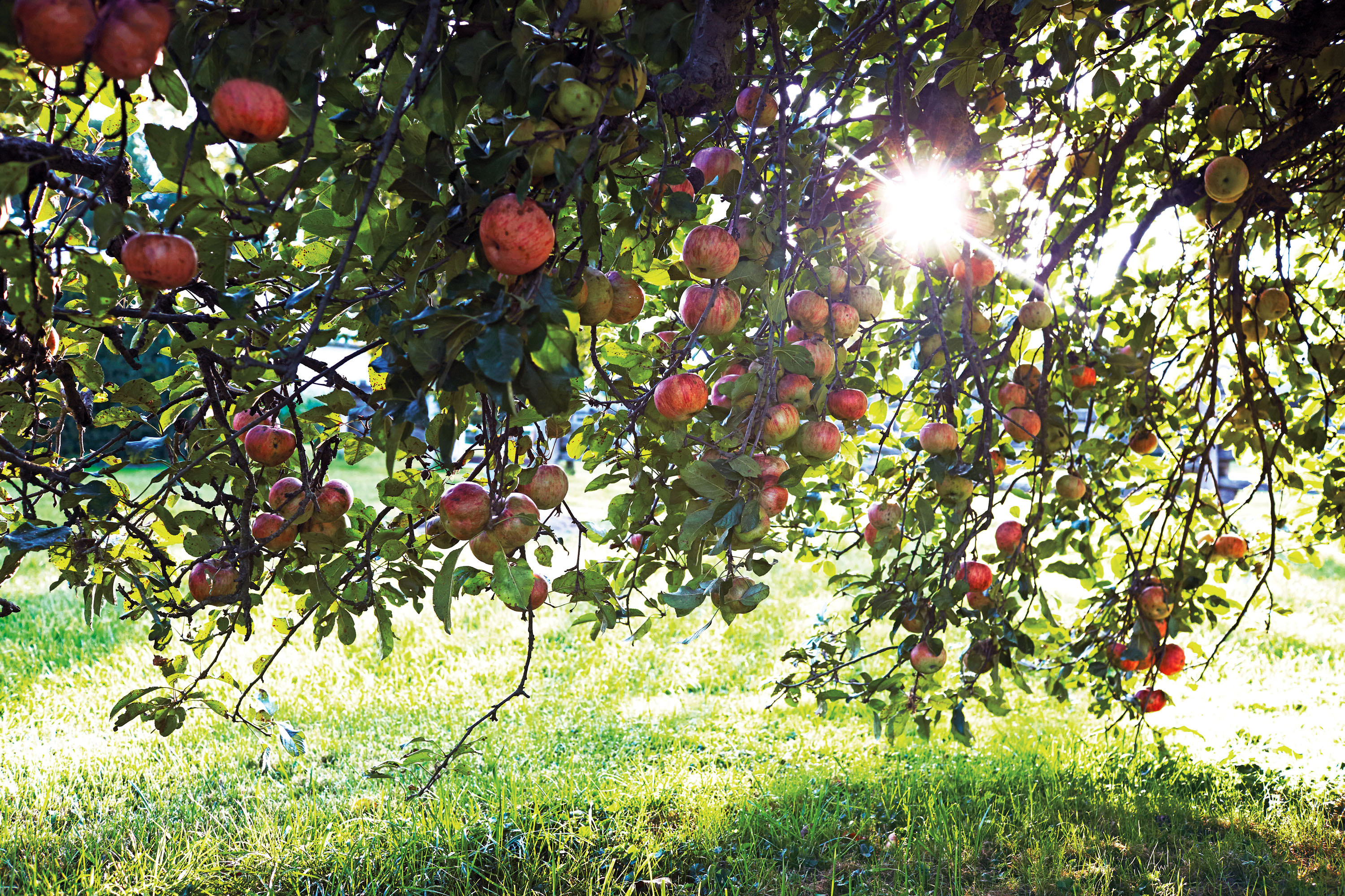 apple orchard trees with sun shining through