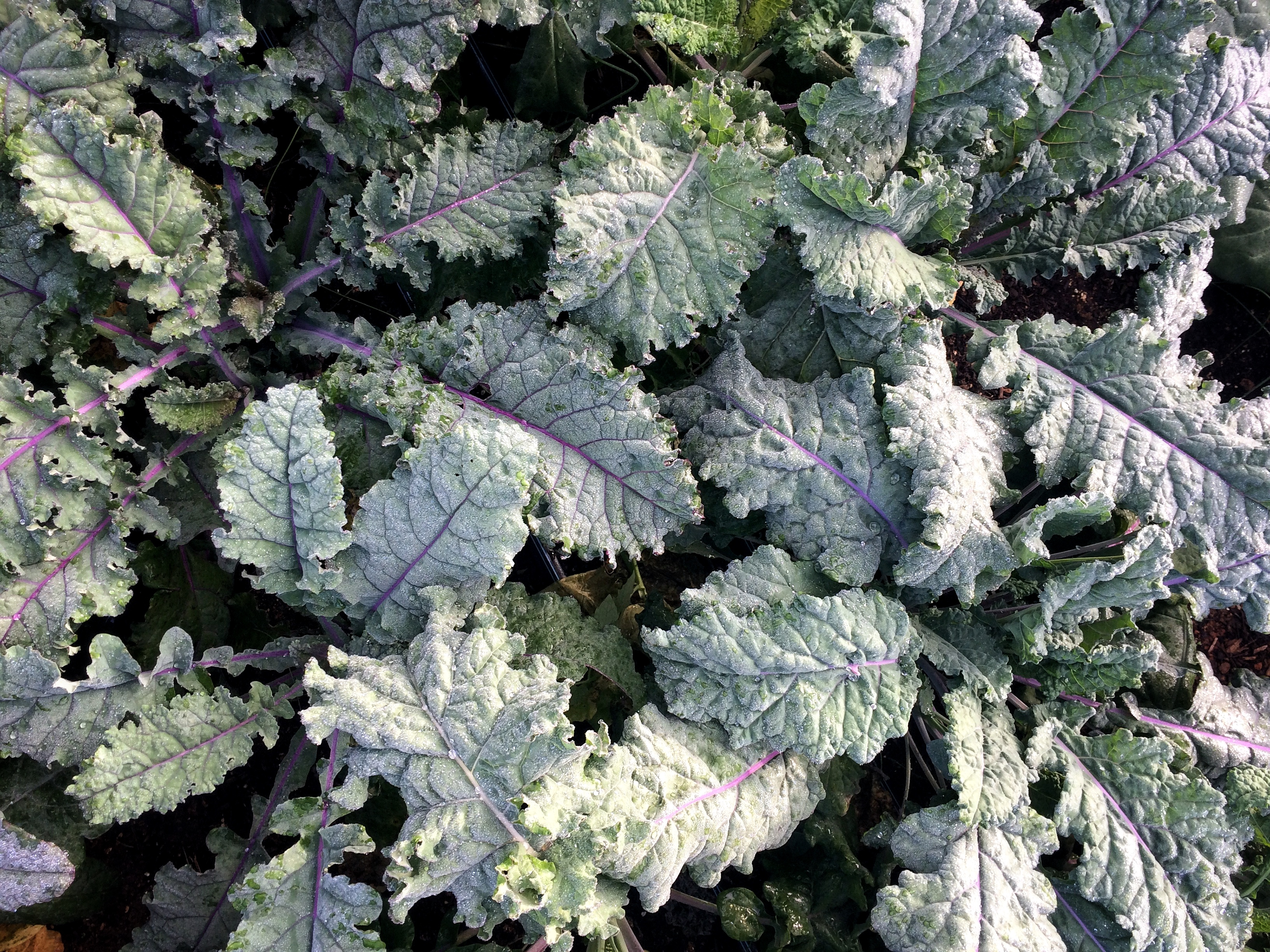 kale leaves covered with frost