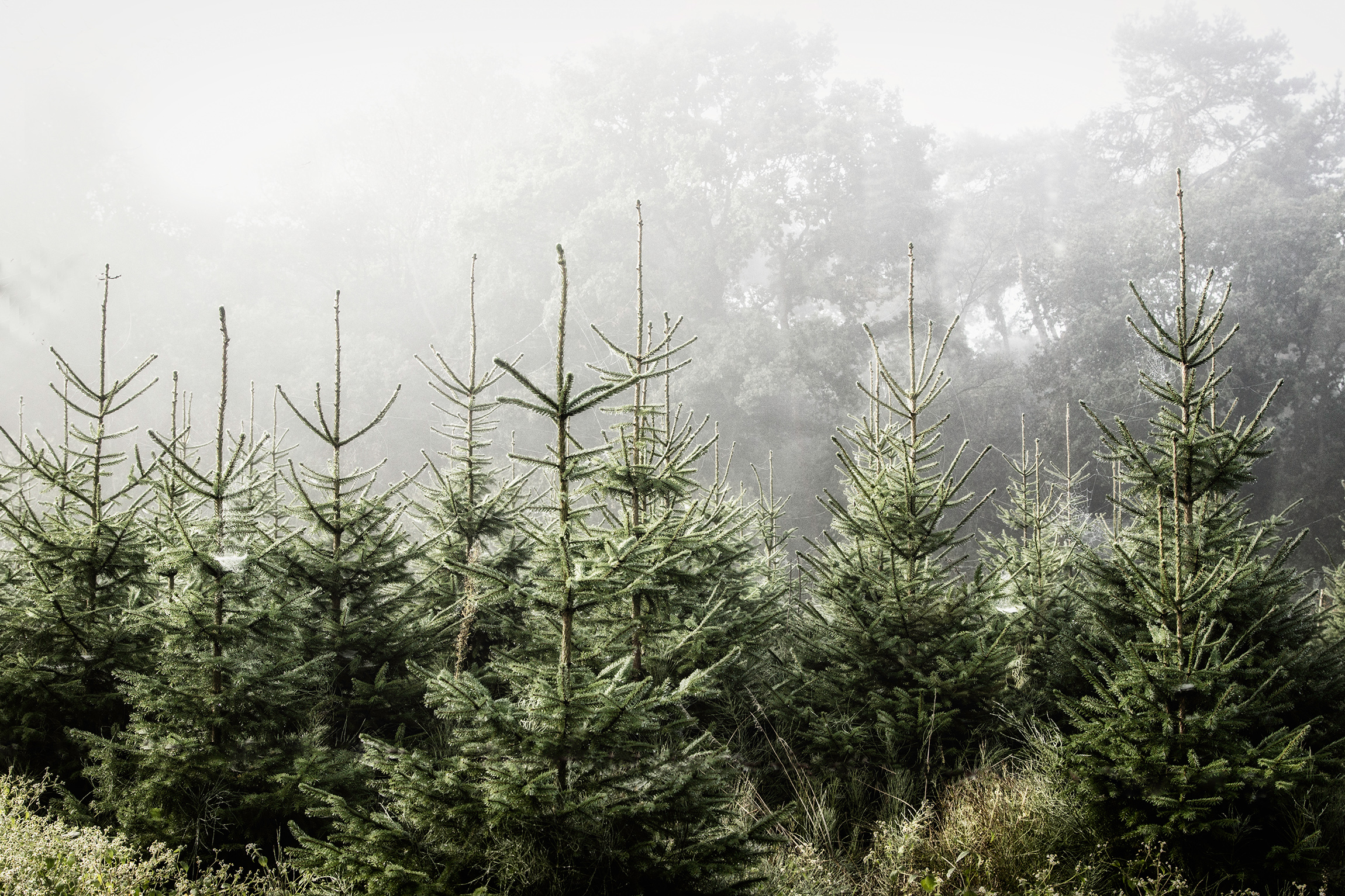 foggy sky with pointy pine christmas trees