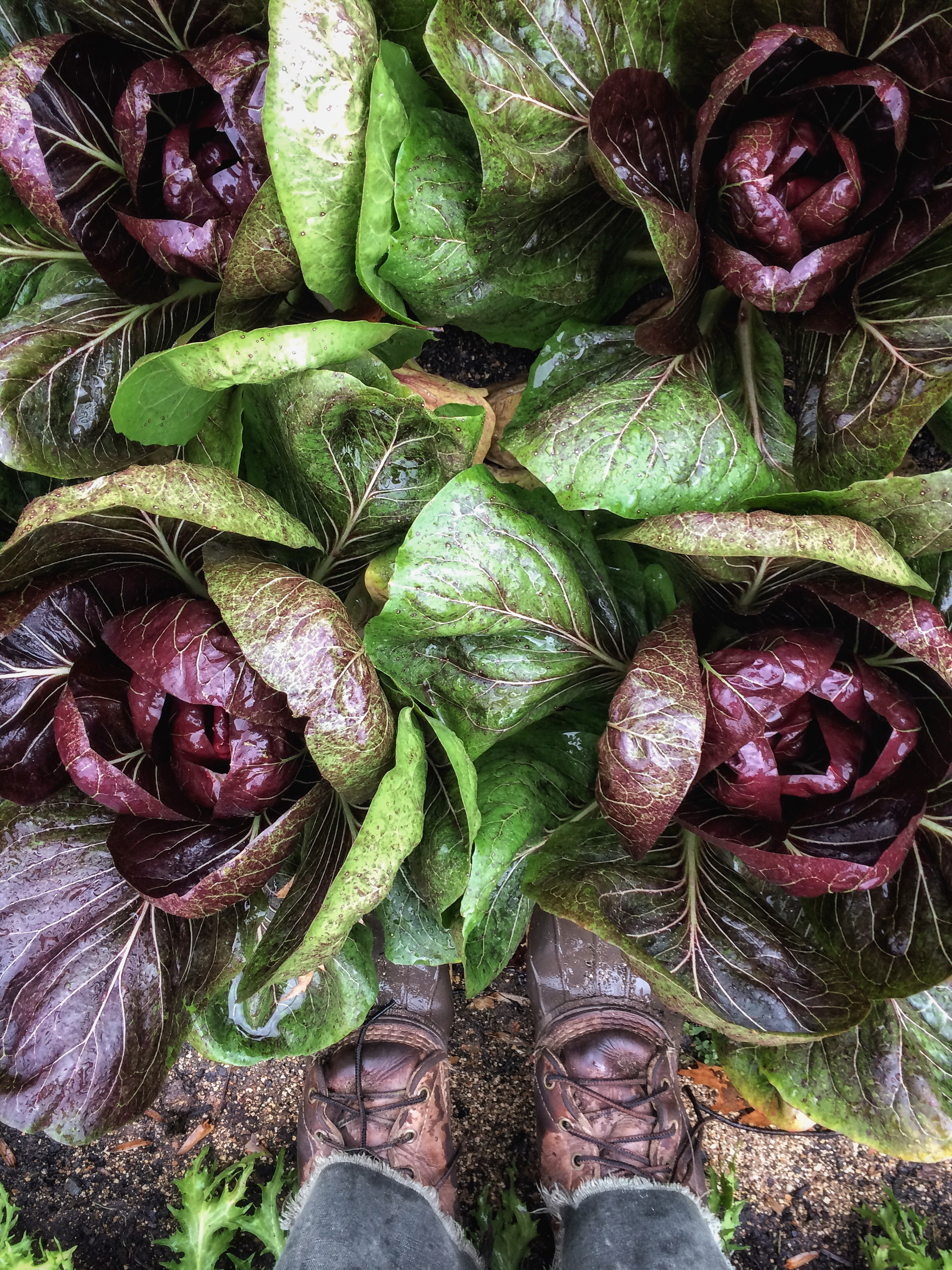 red radicchio crops with farmer shoes
