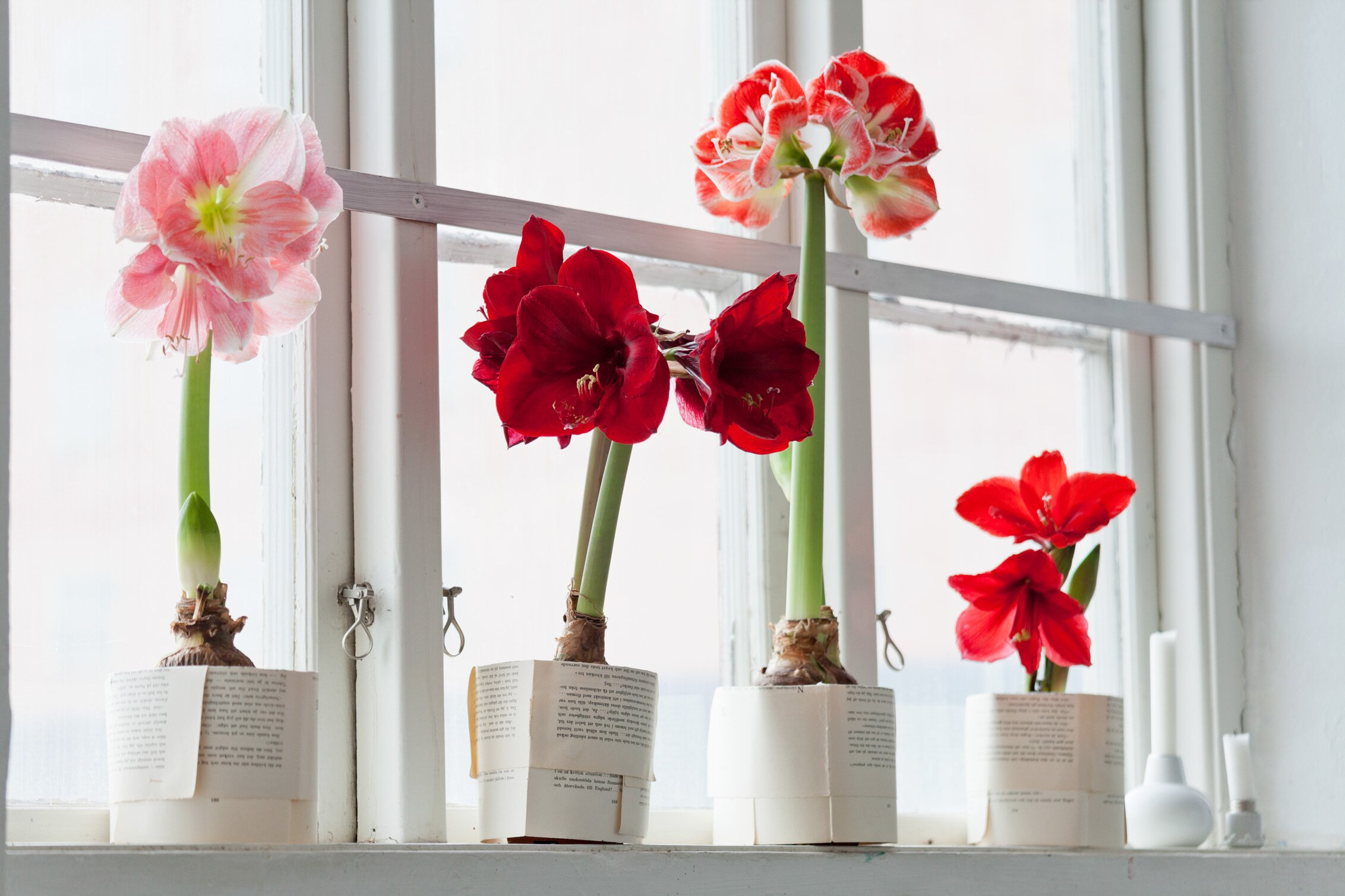 How To Plant And Care For Amaryllis Martha Stewart