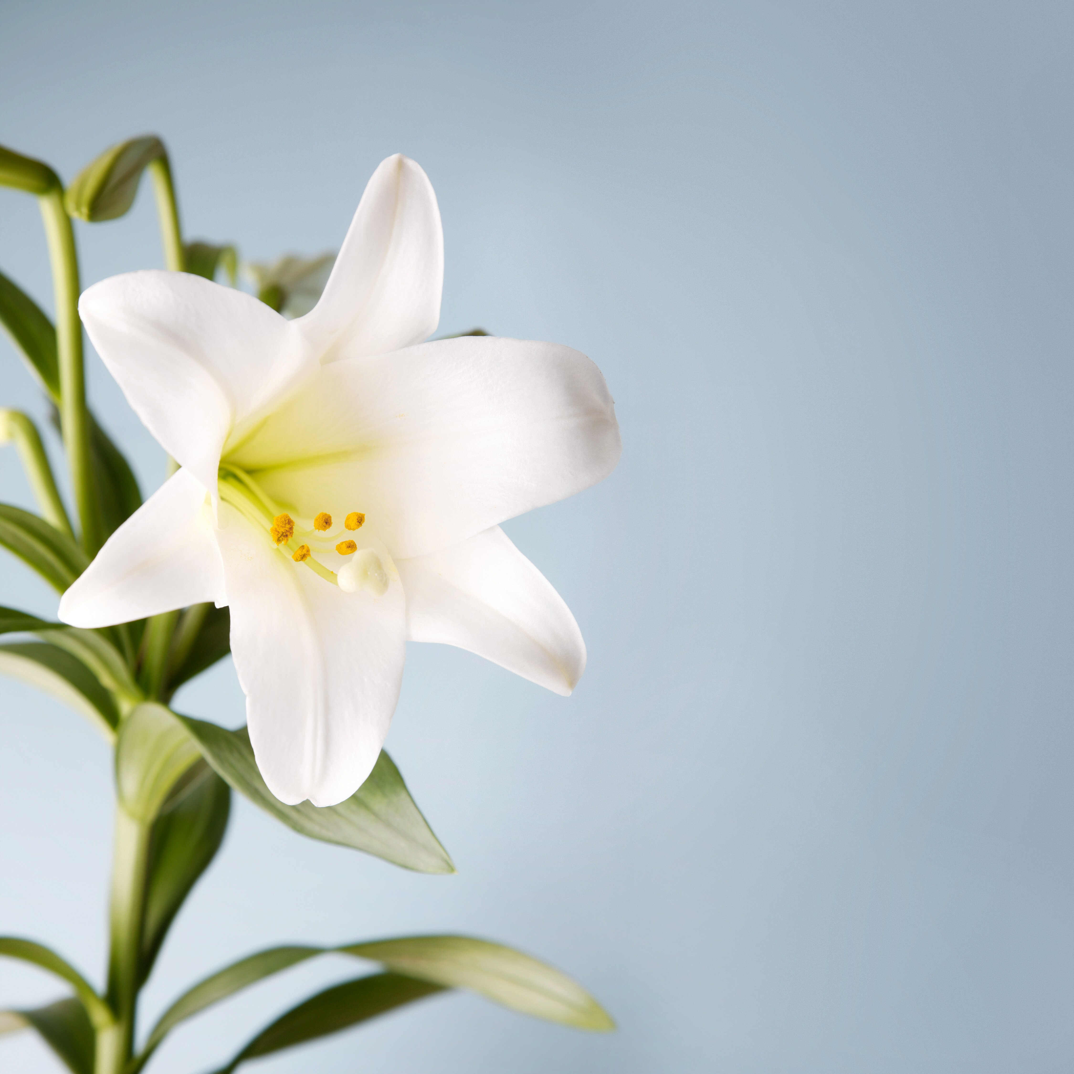 How To Care For Your Easter Lily Martha Stewart