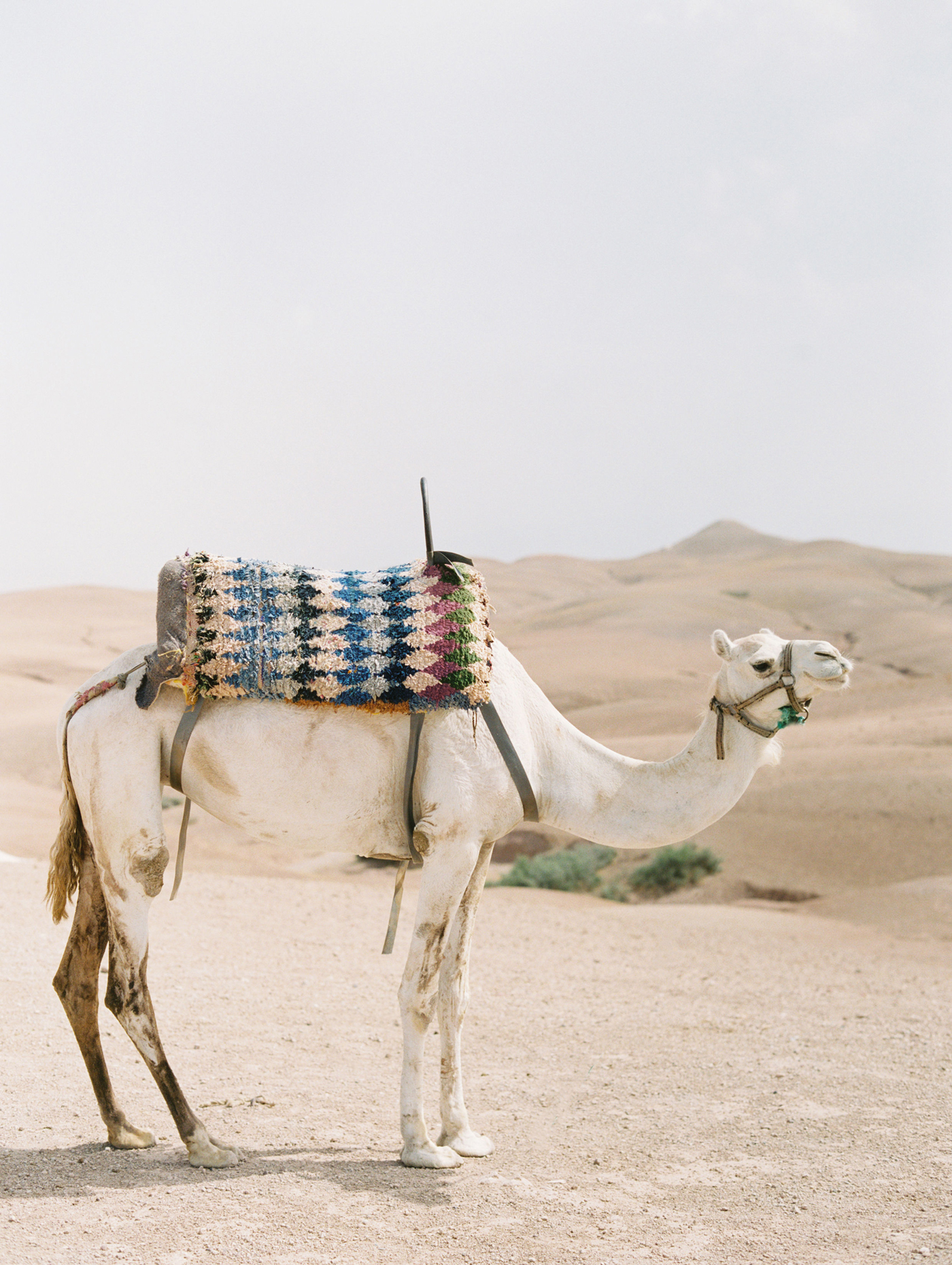 camel with patterned saddle standing in the desert