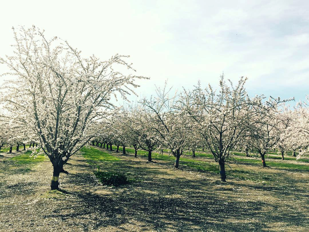 42 burners almond trip orchard painted trunk trees