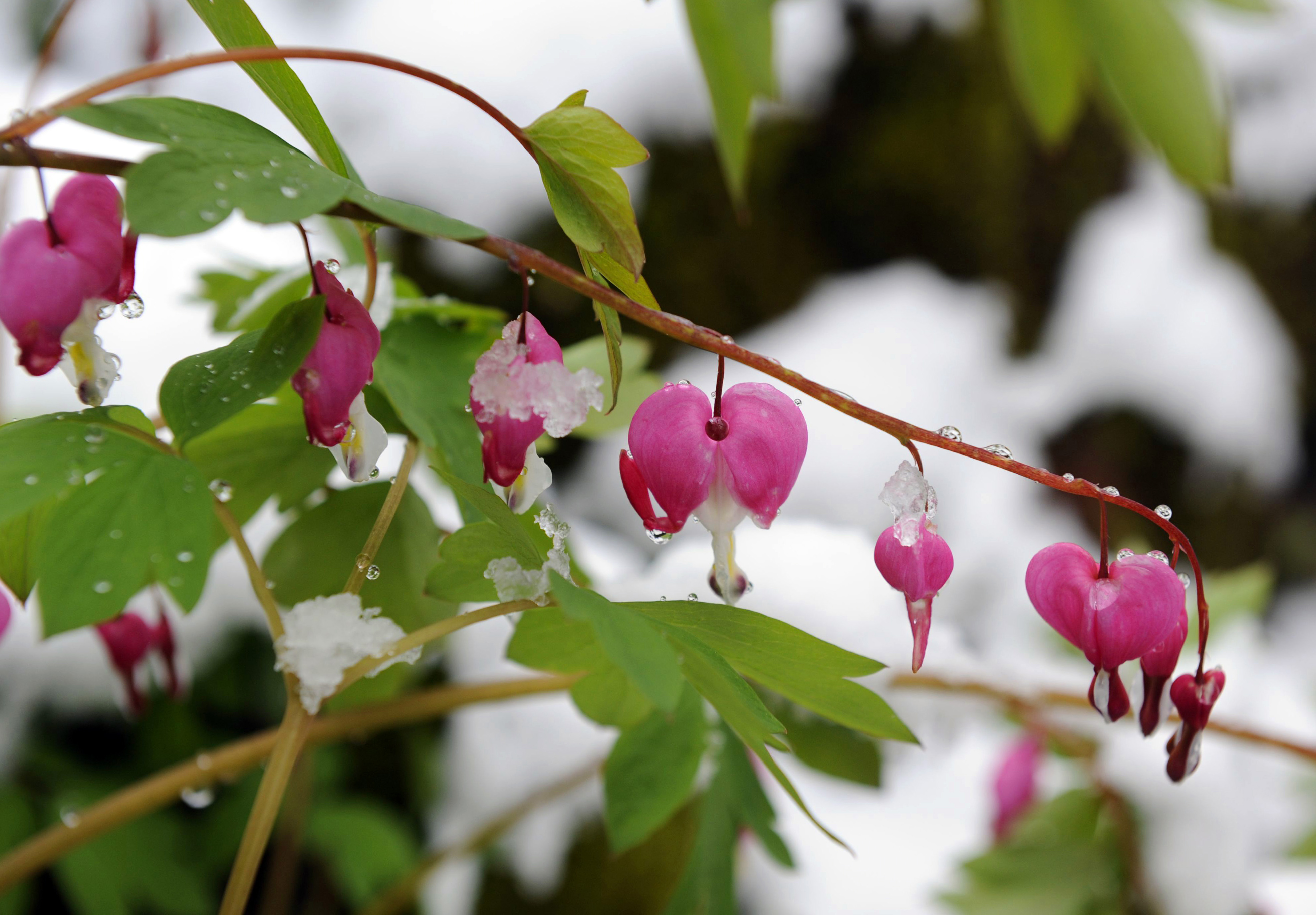 bleeding heart flowers covered in frosty ice