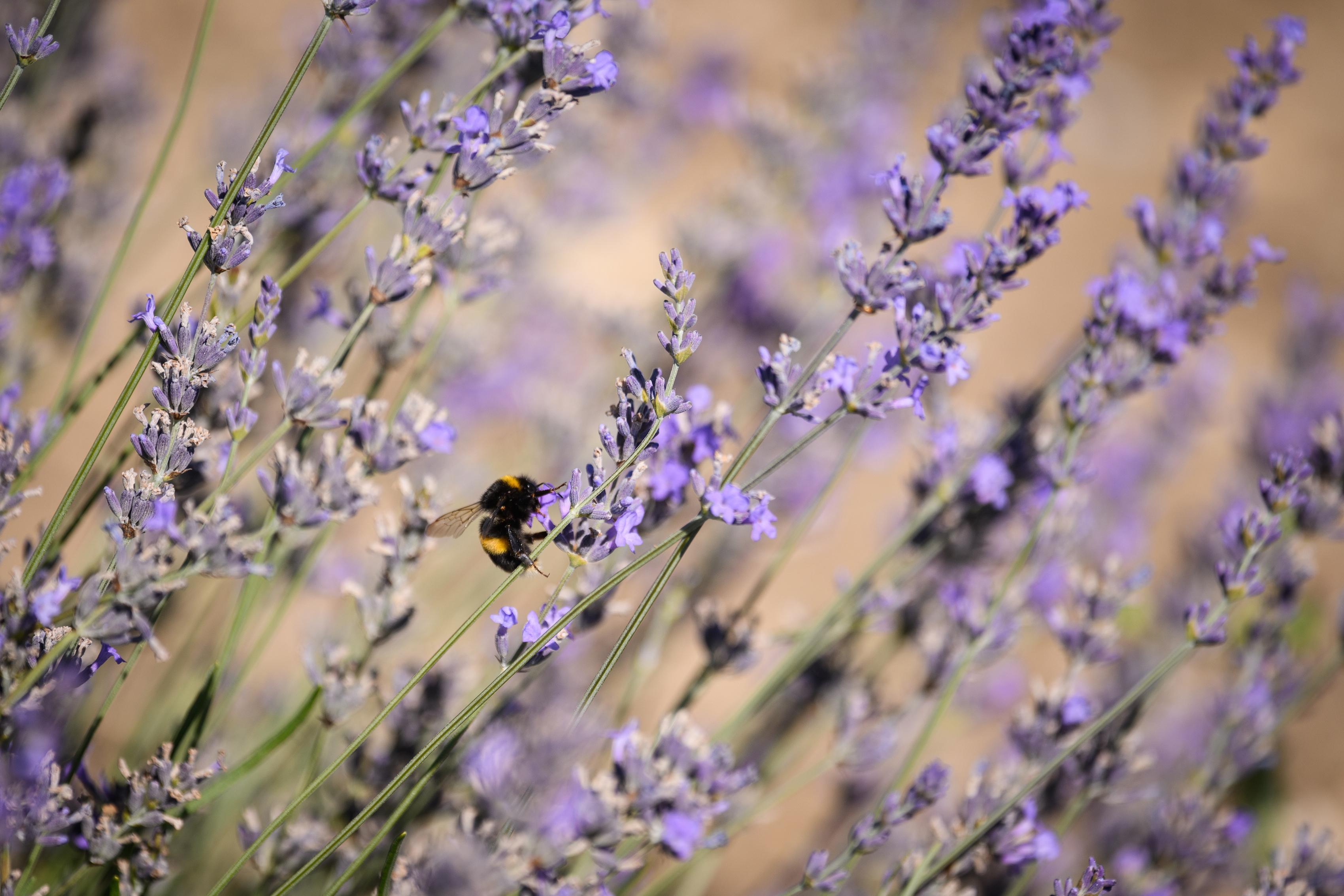 bumble bee on lavender flowers