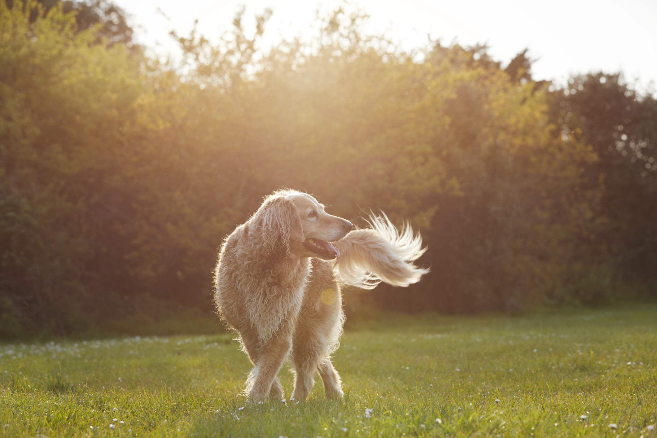 golden retriever in park at sunset