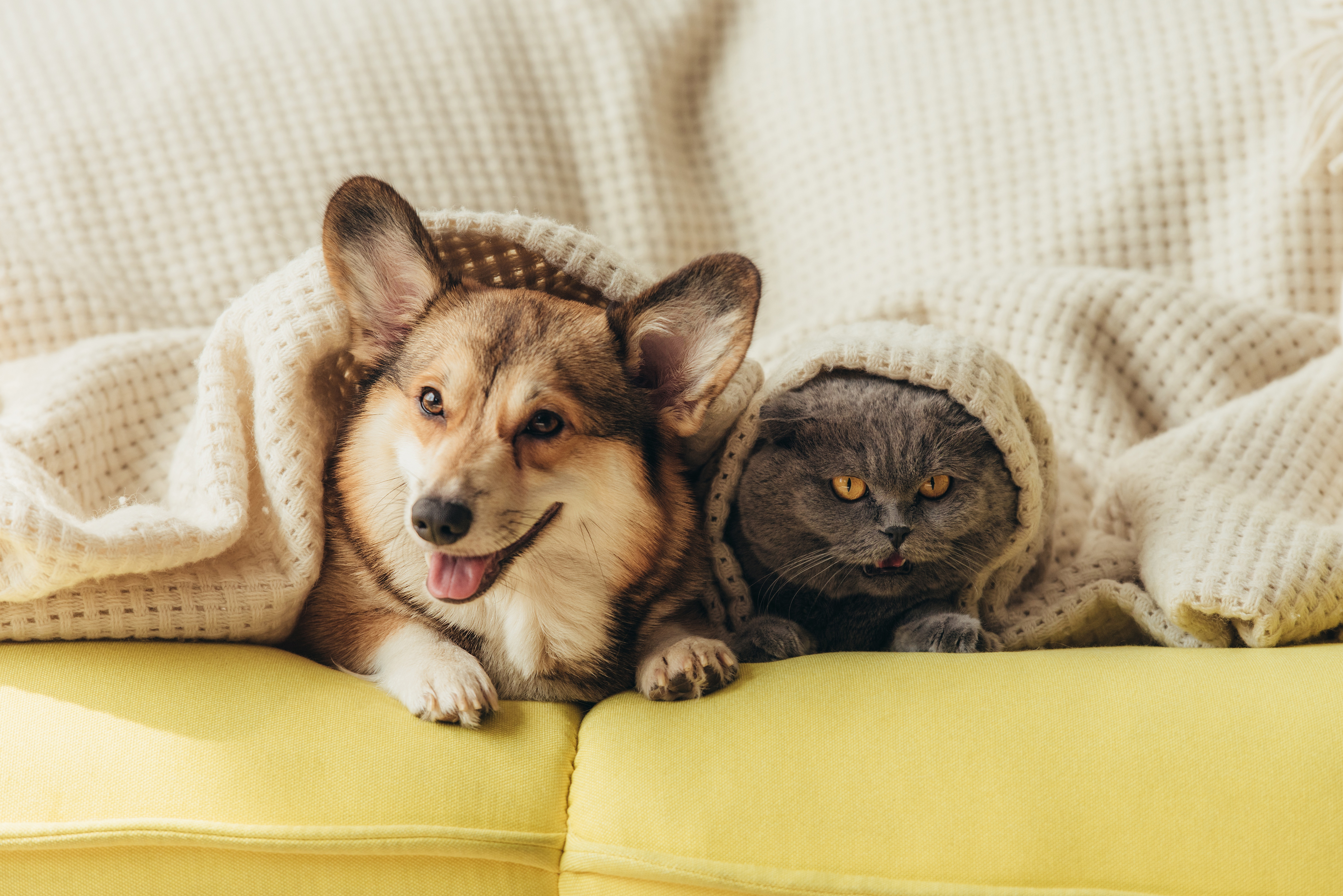 dog and cat under covers