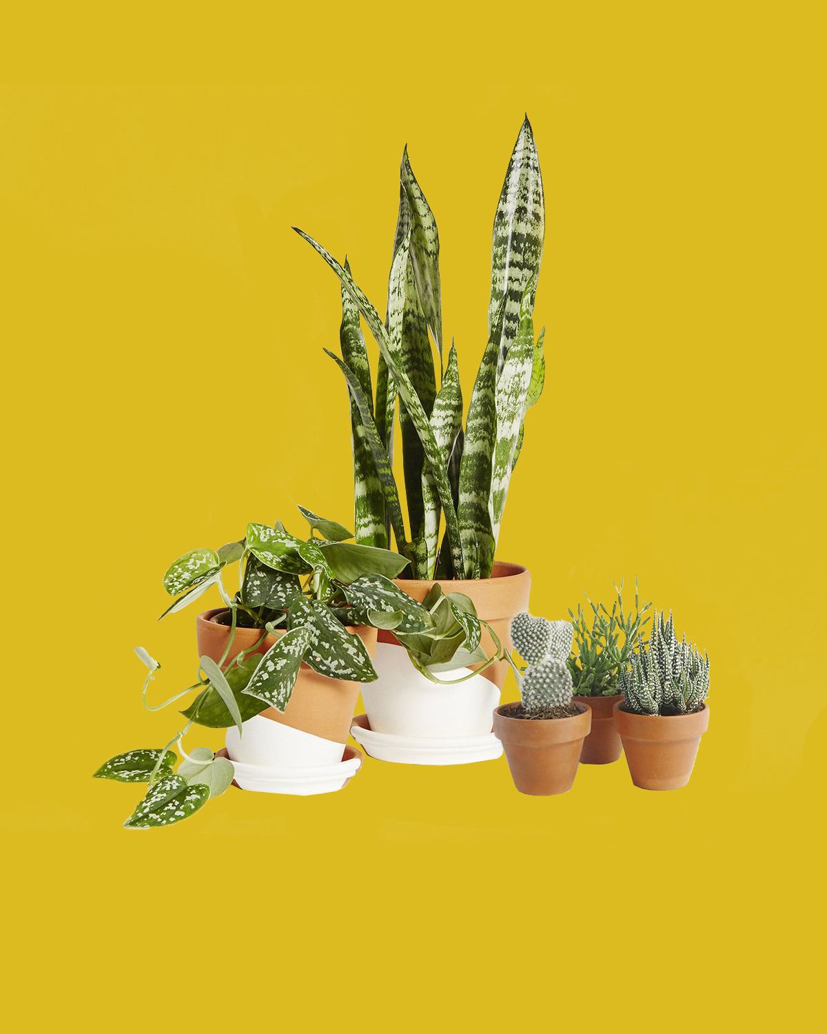 snake plant and succulents in white and terra cotta pots