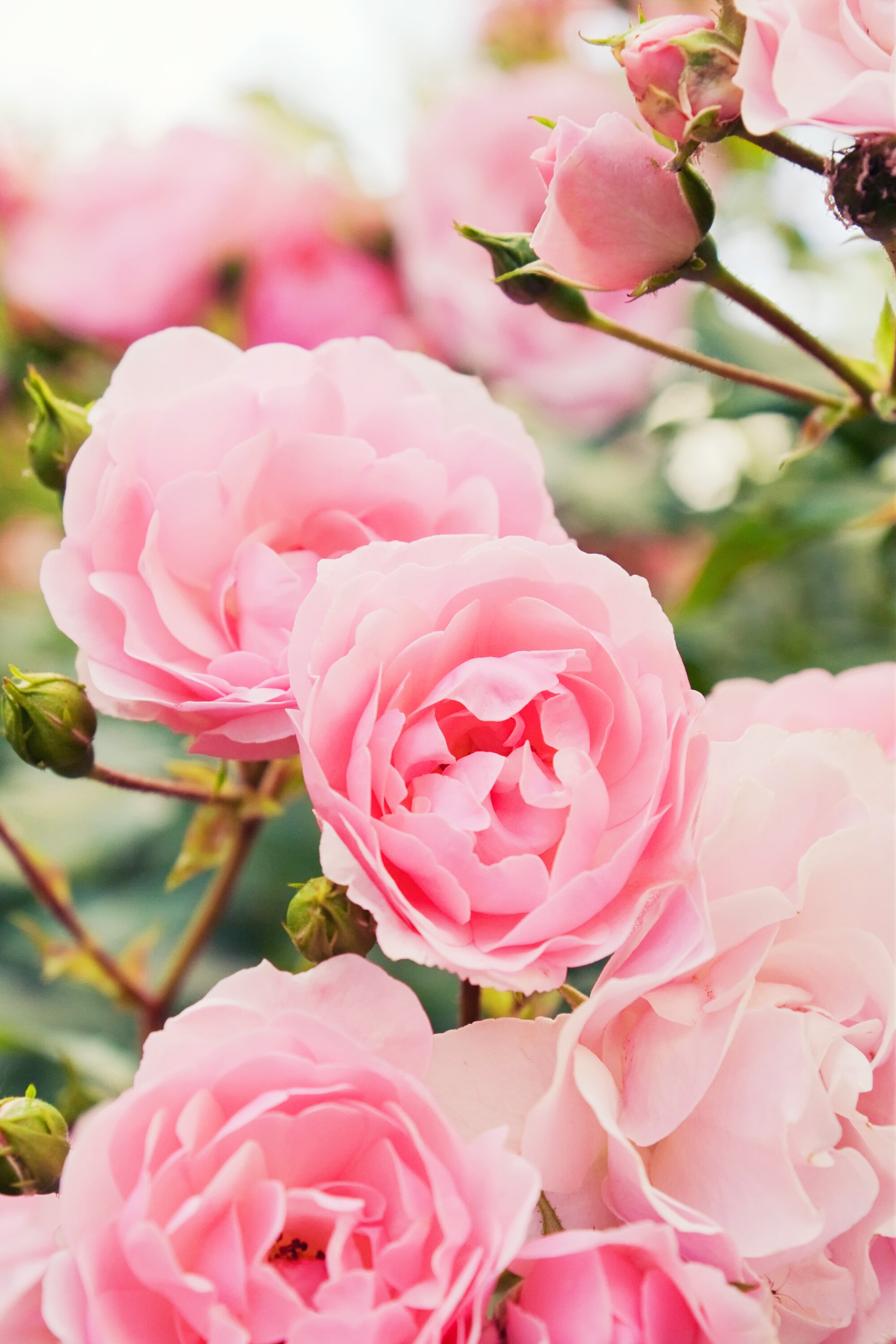 How Epsom Salts Can Help Your Roses Martha Stewart