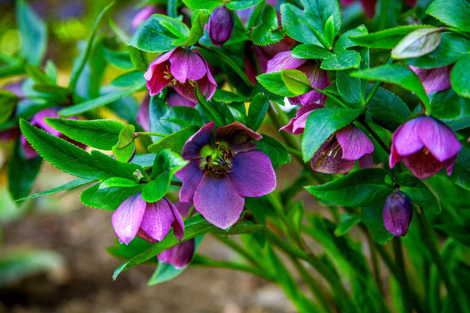 Early Spring: Hellebore
