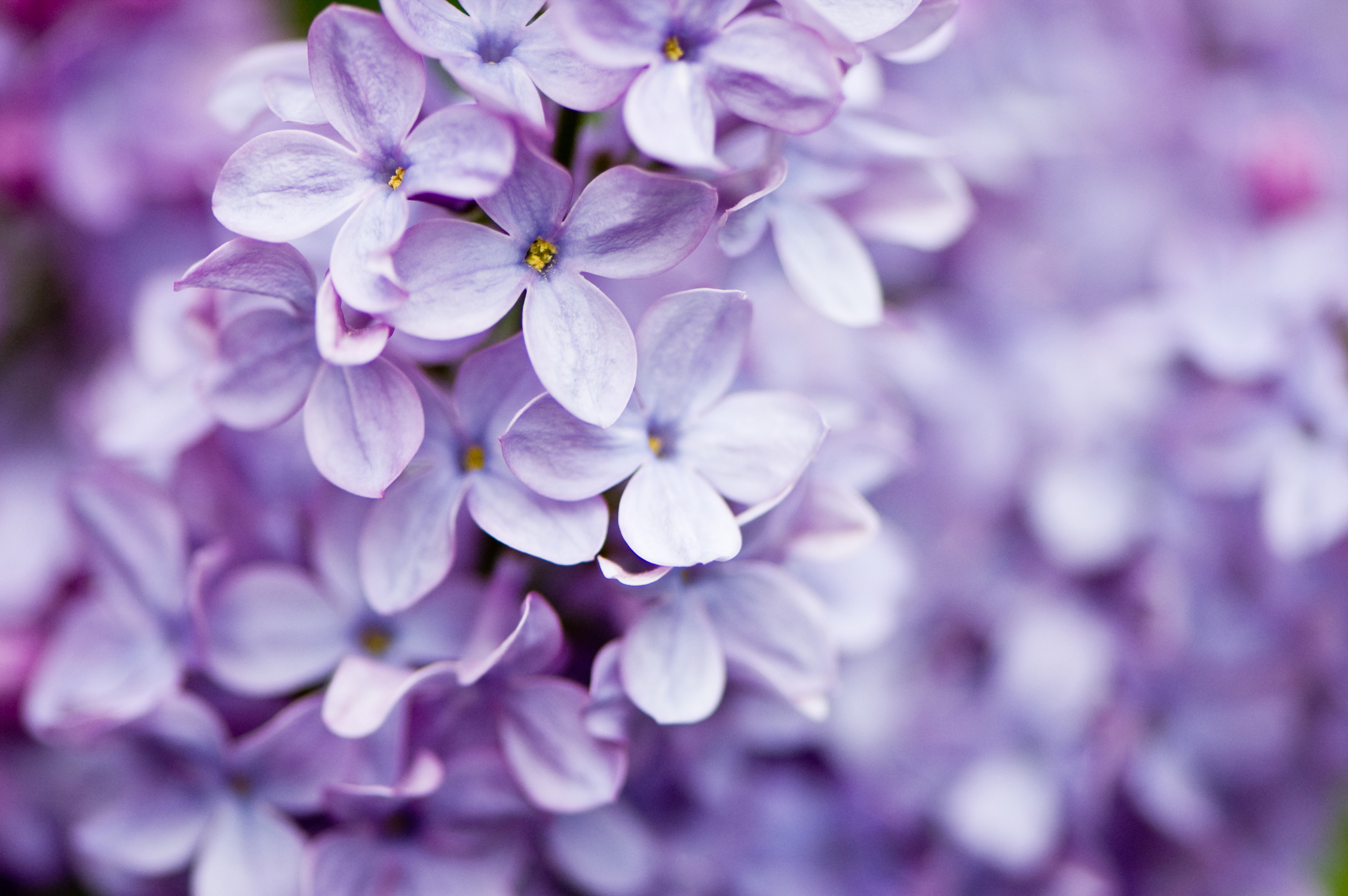 close up of lilacs