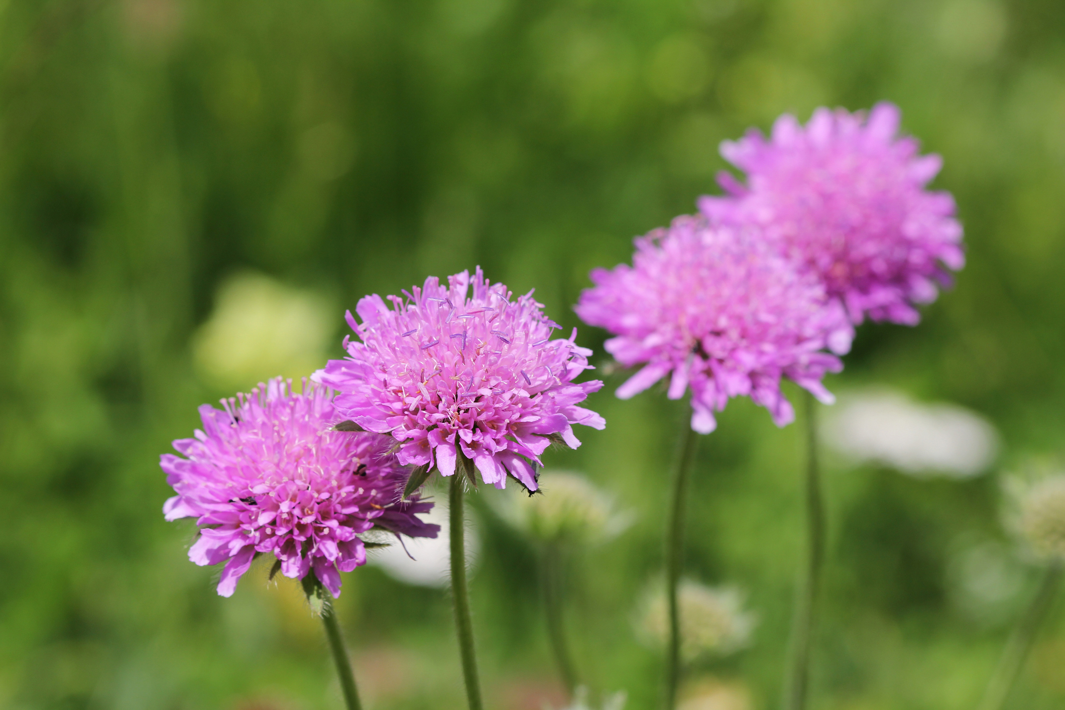 pink scabiosa flowers in grass