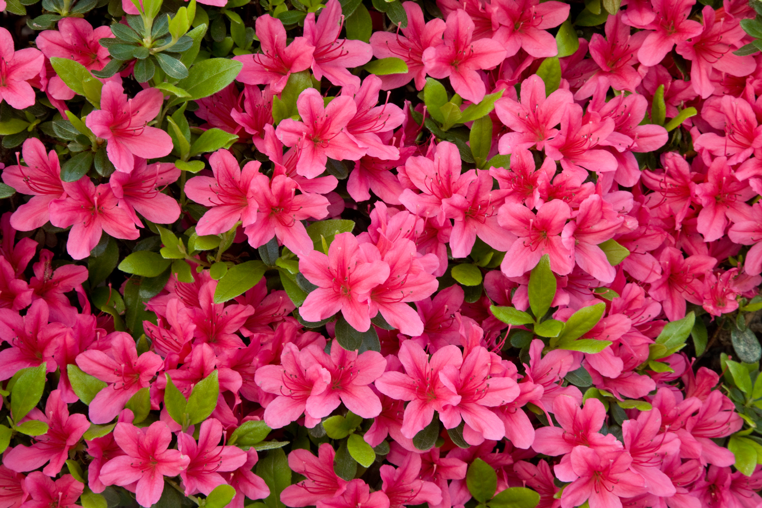 Late Spring to Early Summer: Azalea
