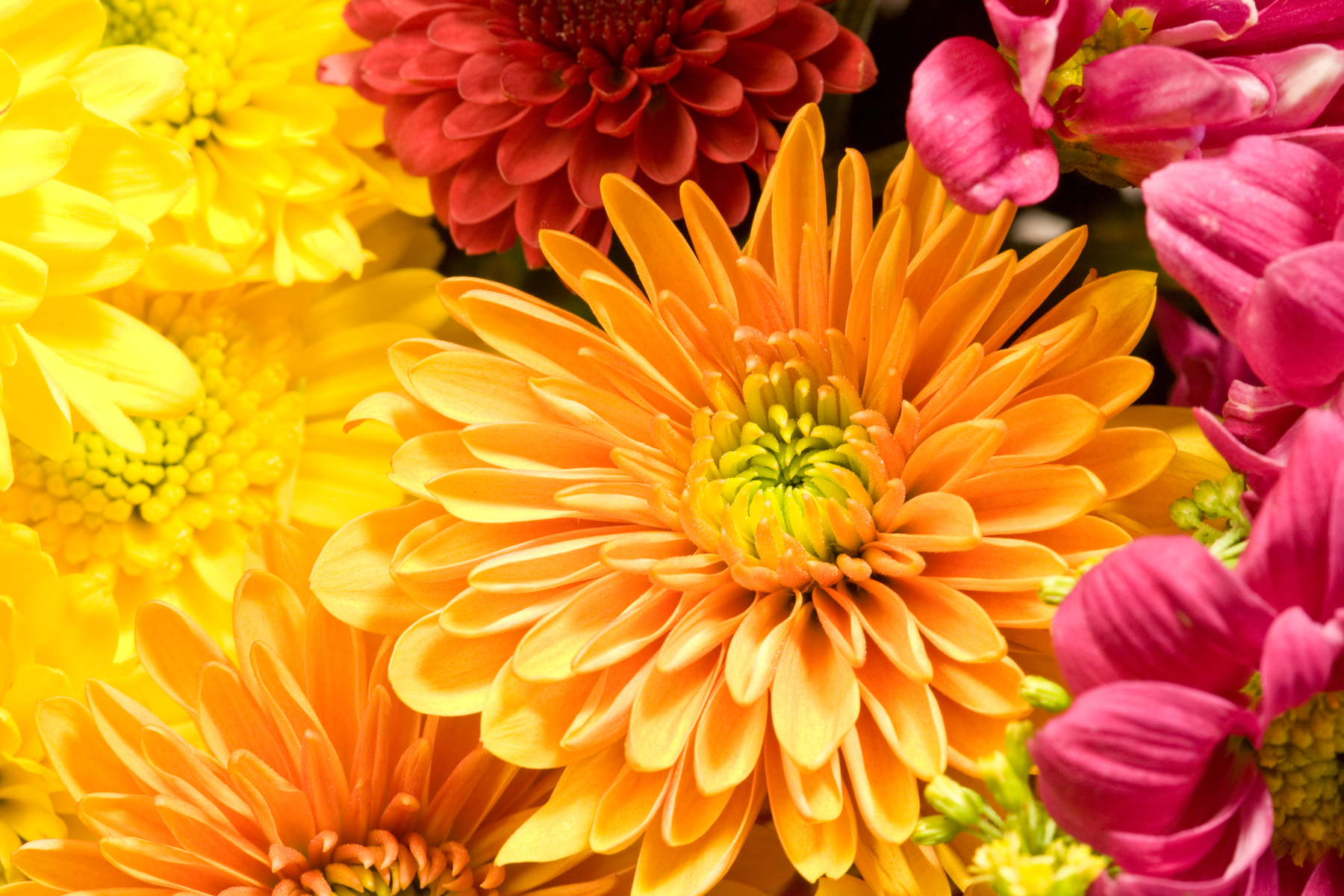 orange and pink chrysanthemum flowers